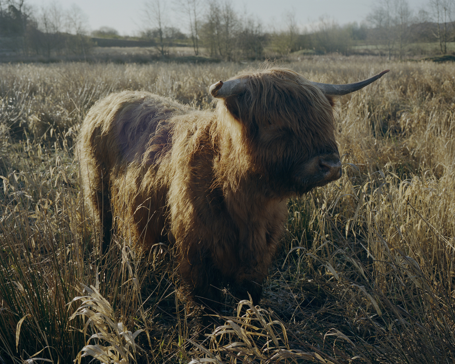 A Scottish Highland cow bred in Northumberland, England.