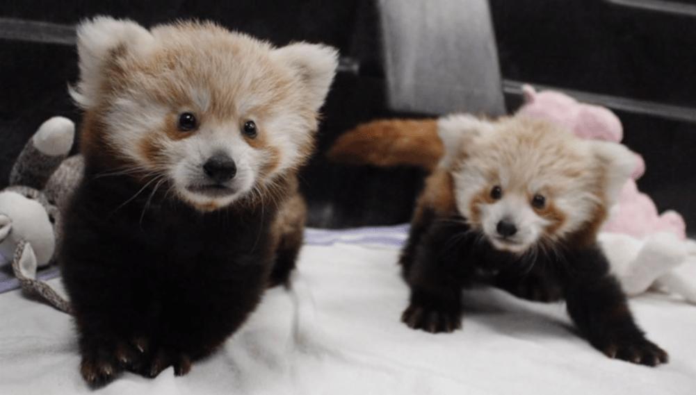 Red Panda Twins Born At Lincoln Children S Zoo In Nebraska Time