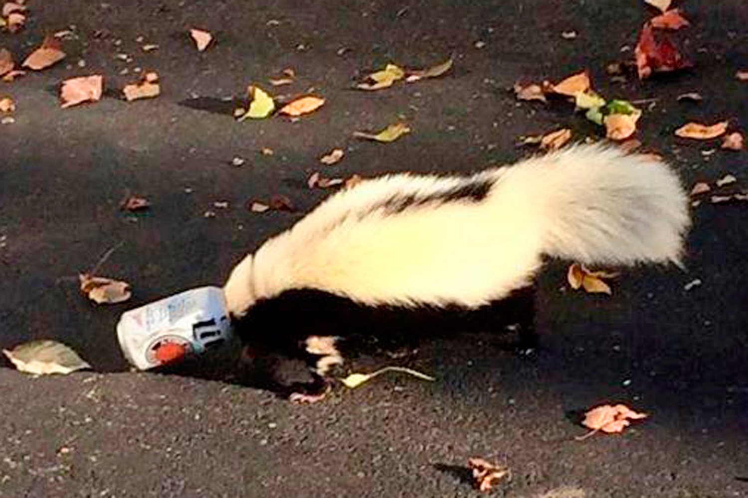 A skunk with its head stuck in a beer near a frat house at Miami University in Oxford, Ohio, September 14, 2014.