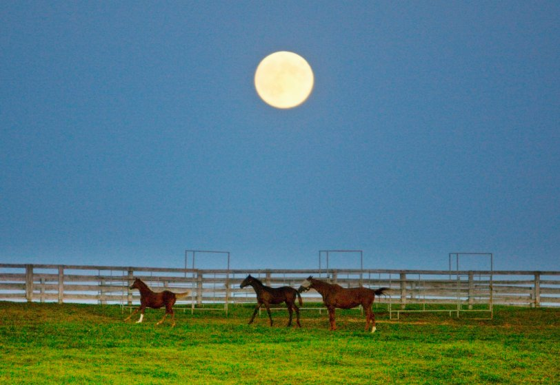 The harvest supermoon rises over a horse pasture in Halton Hills, Ontario on Sept. 8, 2014.