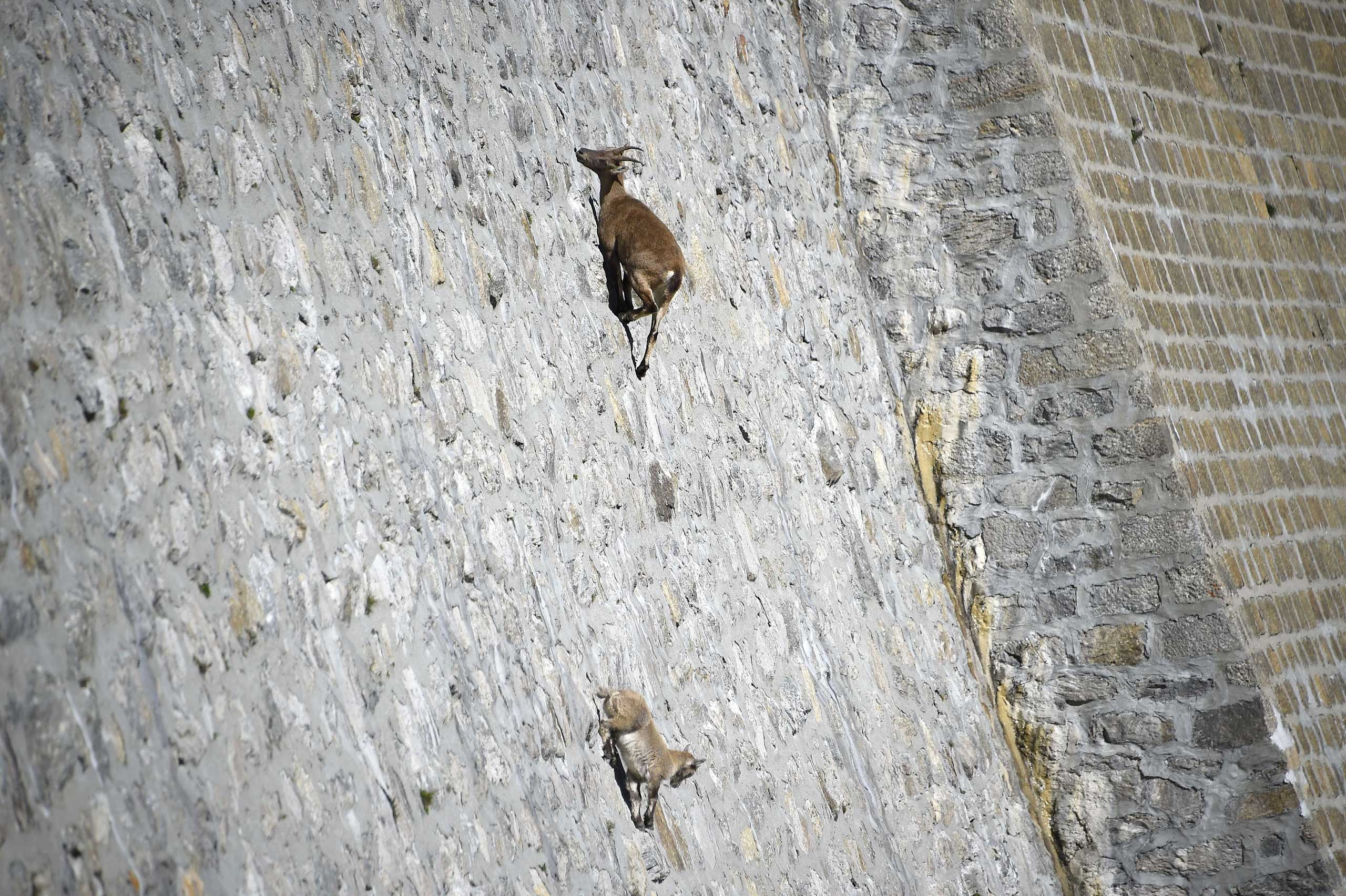 Sept. 22, 2014.                               A female Alpine Ibex, a species of wild goat that lives in the mountains of the European Alps, licks stones on a vertical dam at the lake Cingino, Italy.