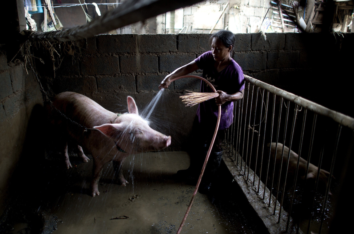 A woman sprays water on a pig inside a pig sty on the first floor of her house that was flooded in heavy rains brought by Tropical Storm Fung-Wong, at Banaba village in Marikina City, suburban Manila, on Sept. 21, 2014.