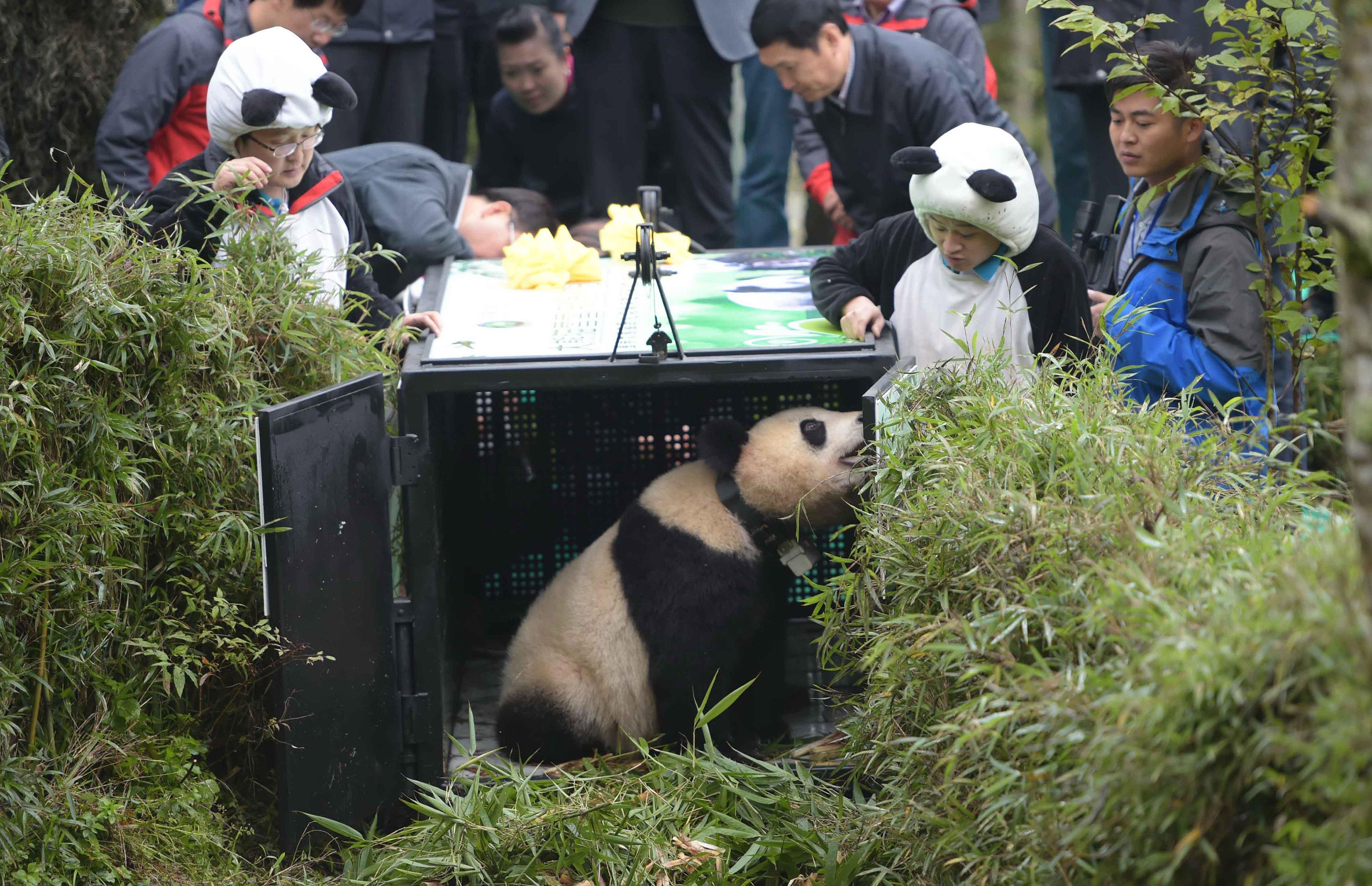 Giant panda Xue Xue is released into the wild at the Liziping Natural Reserve in Shimian, China on Oct. 14, 2014.