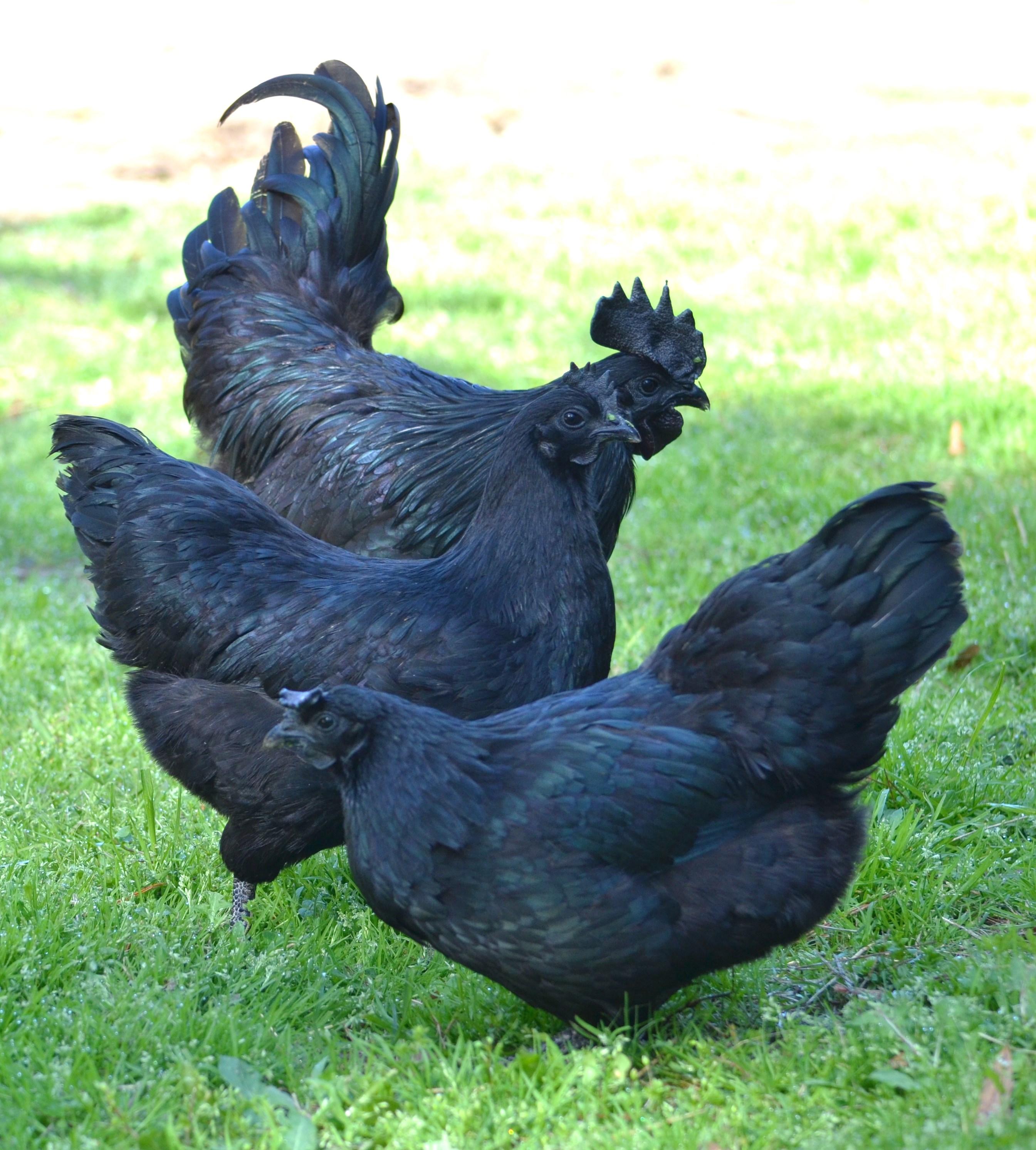 Ayam Cemani chickens