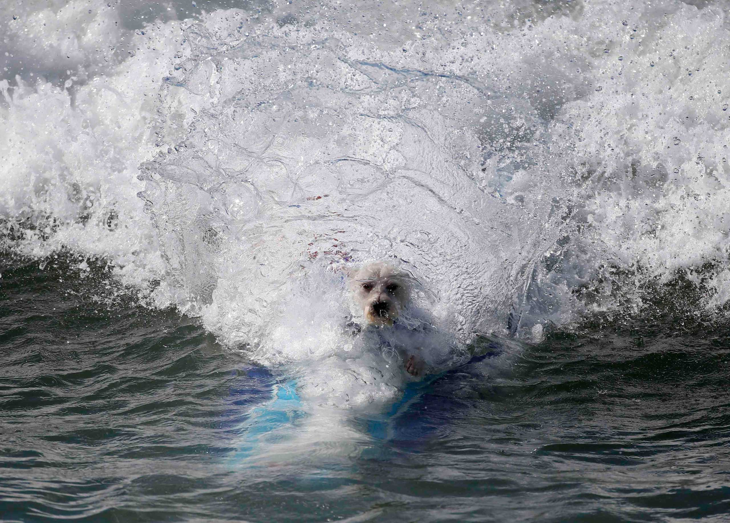 Sept. 28, 2014. A dog wipes out at the 6th Annual Surf City surf dog contest in Huntington Beach, California.