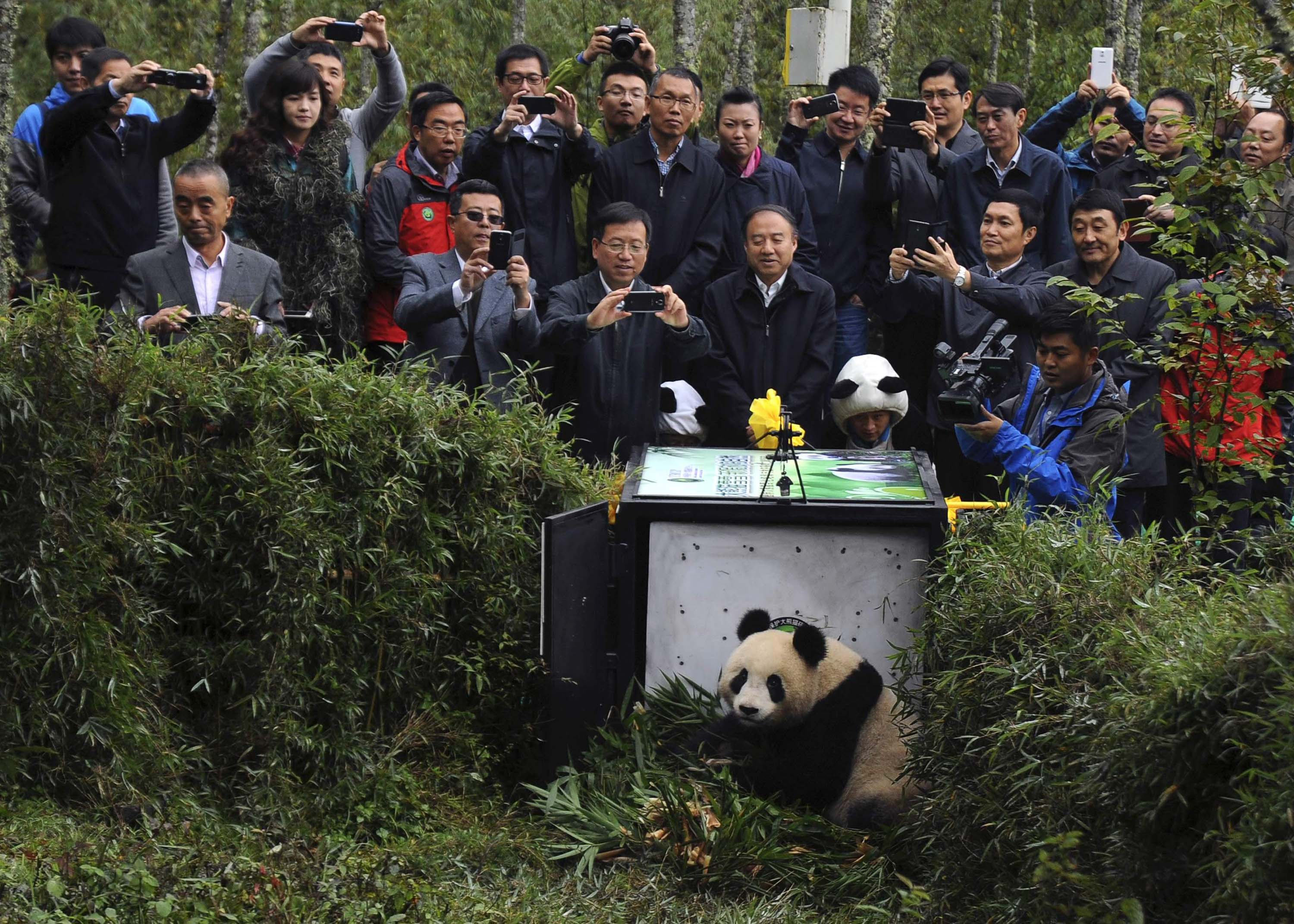 People take pictures of the two-year-old giant panda Xuexue before it was sent back to the wild at Liziping natural reserve, in Ya'an, Sichuan province on Oct. 14, 2014.