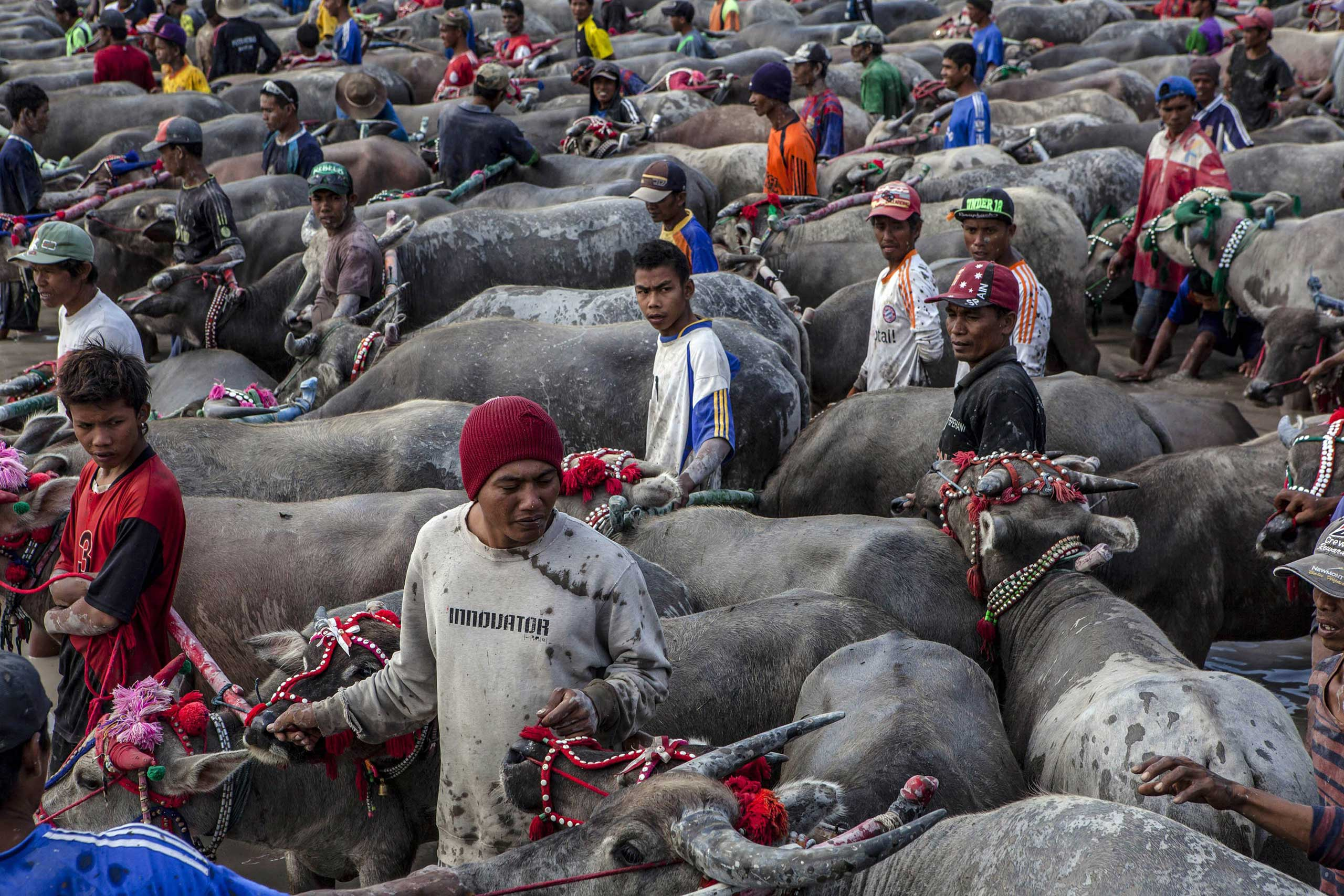 Sept. 30, 2014. Barapan Kebo participants gather in rice fields before the race during Barapan Kebo or buffalo races as part of the Moyo festival in Sumbawa Island, West Nusa Tenggara, Indonesia.