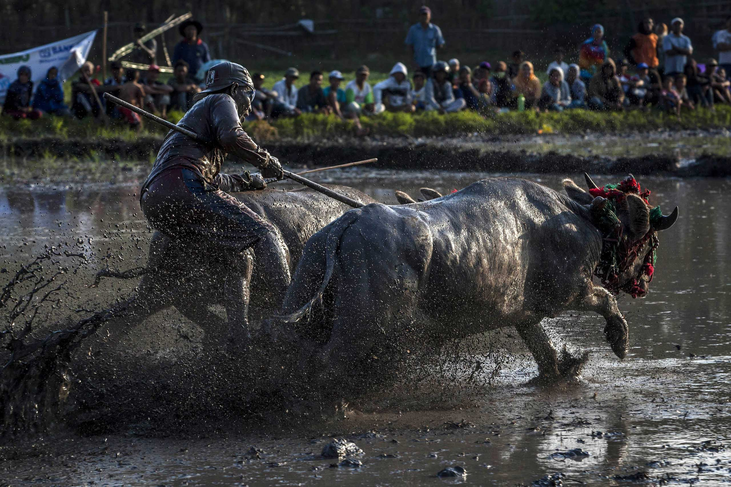 Sept. 30, 2014.  A jockey spurs the buffalos as they race during Barapan Kebo or buffalo races as part of the Moyo festival in Sumbawa Island, West Nusa Tenggara, Indonesia.
