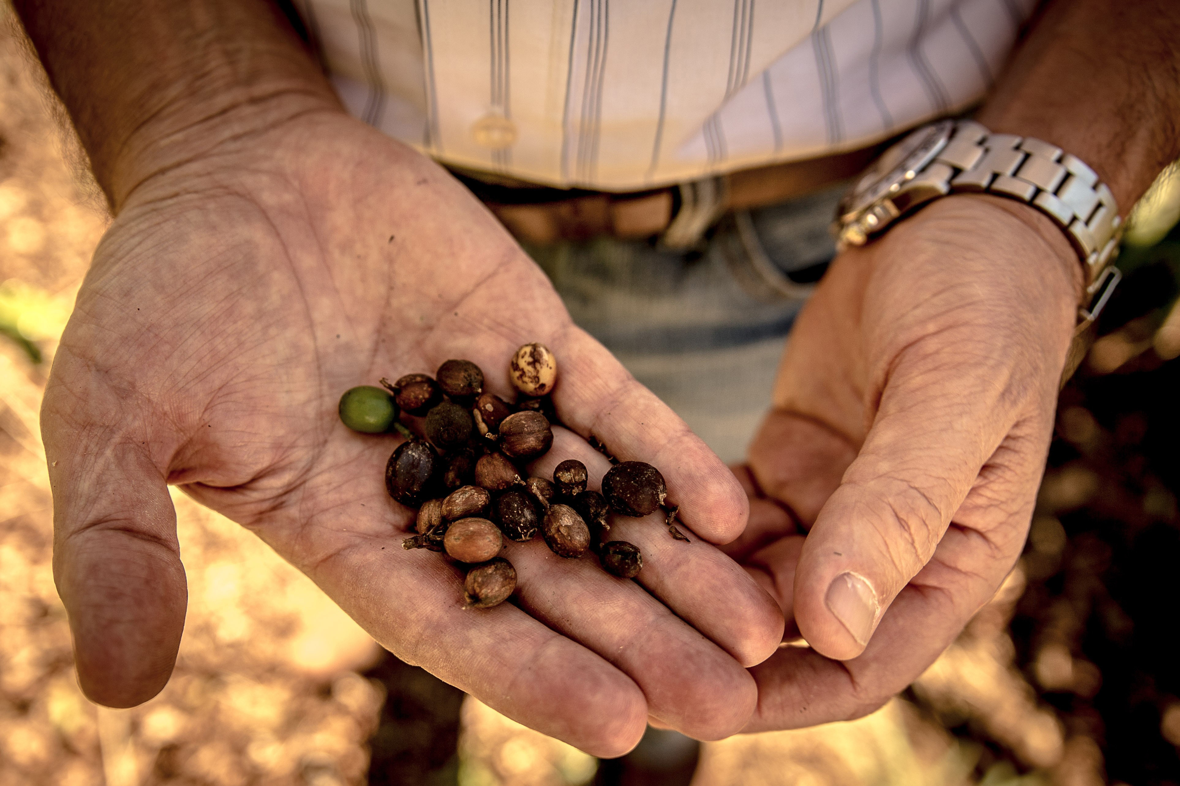 Coffee sales this season will be down after southeastern Brazil deals with one of the worst droughts in decades.