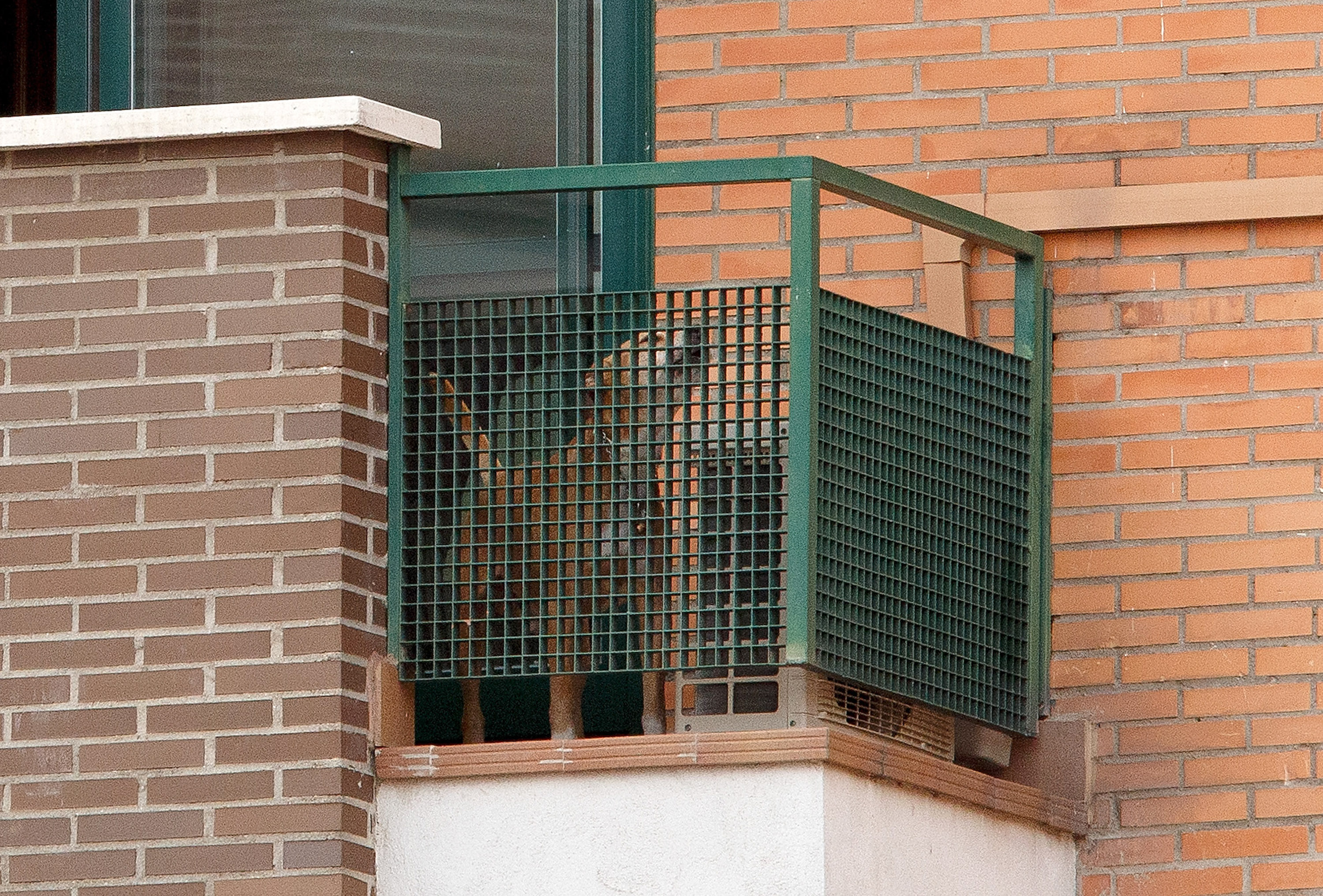 'Excalibur' barks from the balcony of the private residence for the Spanish nurse who has tested positive for the Ebola virus on October 8, 2014 in Alcorcon, Spain.
