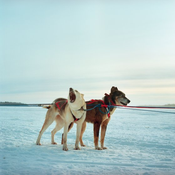 Sled Dogs are seen before a race during the Winter Carnival in Fort Chipewyan, a First Nation community north of Fort McKay on lake Althabasca that is also dealing with many downstream pollution issues from the Oil Sands. Canada. 2012.