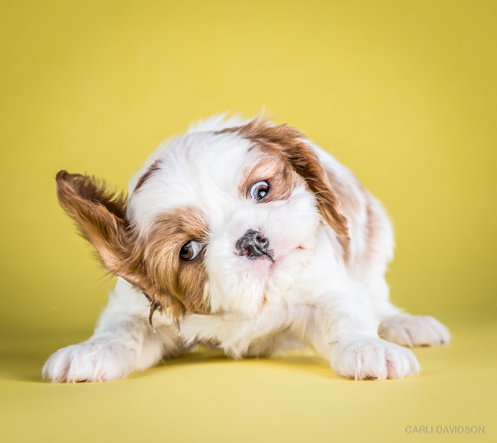 <strong>Annie - 7 weeks, Cavalier King Charles Spaniel</strong>