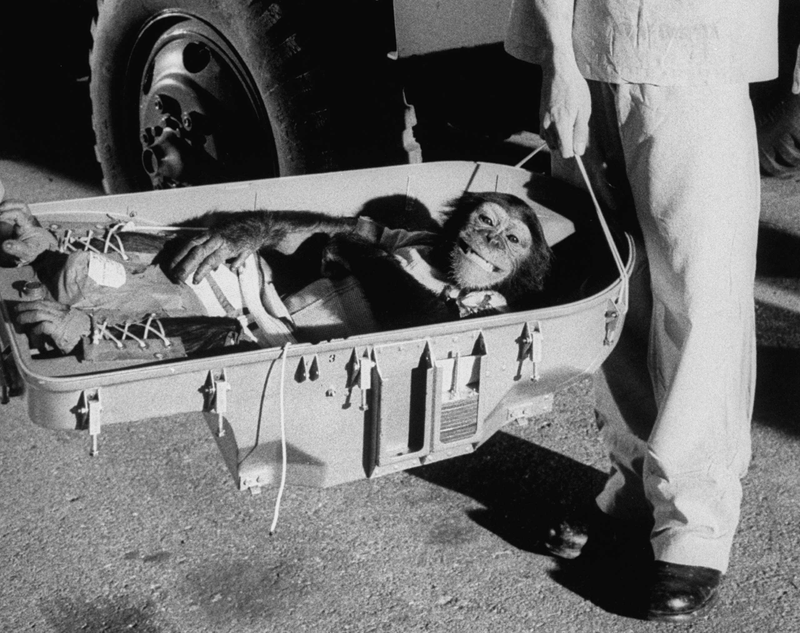 Ham the astrochimp after his historic 1961 suborbital flight.