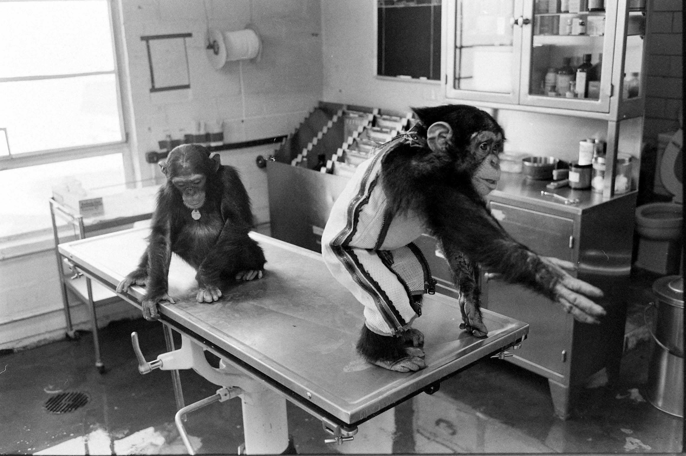 Not published in LIFE. Astrochimps in training, 1960.