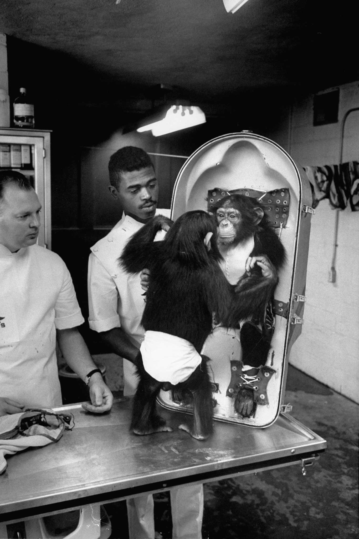 Astrochimp in training at Holloman Air Force Base, 1960.