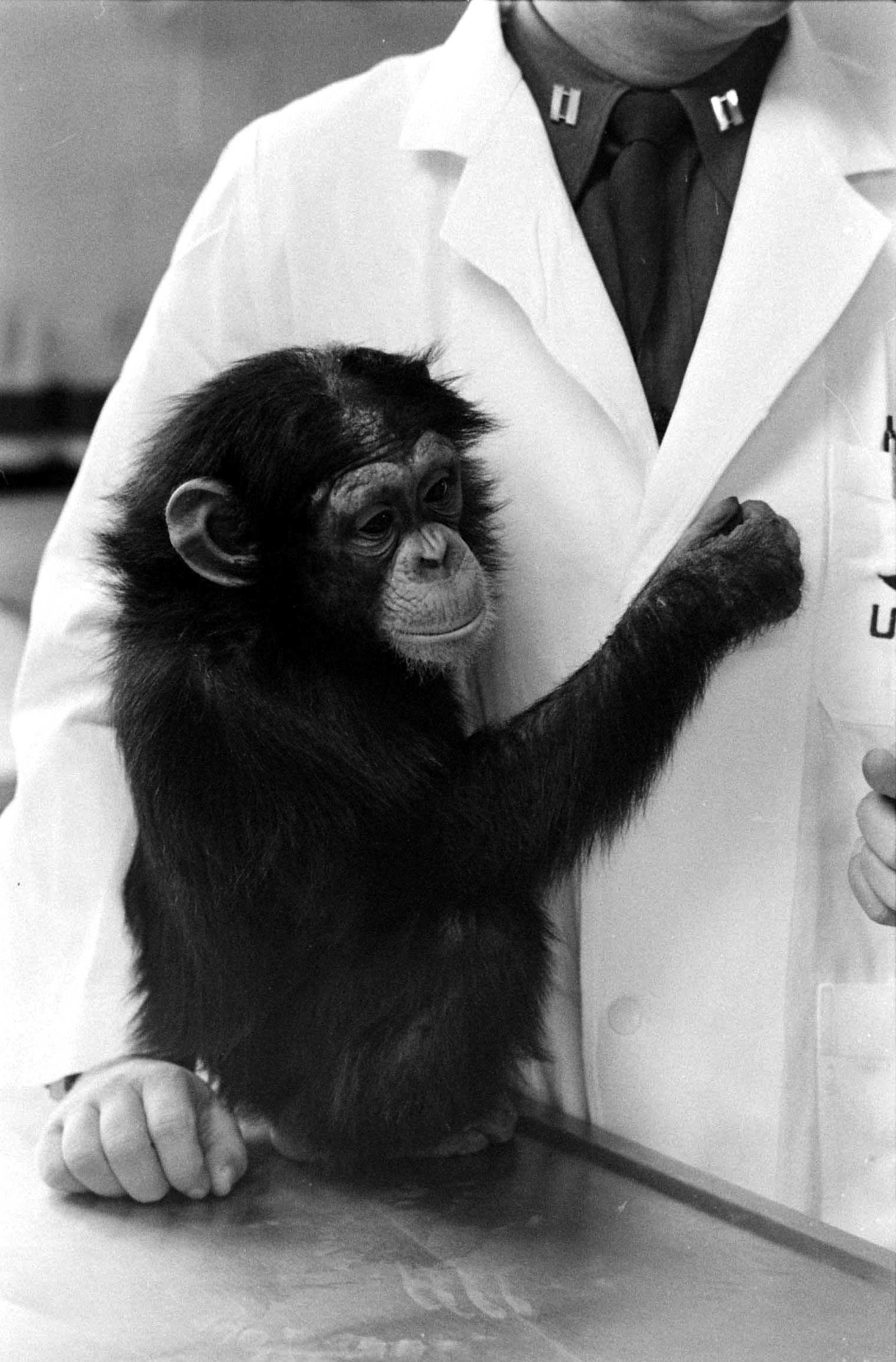 <b>Not published in LIFE.</b> Astrochimp, 1960.