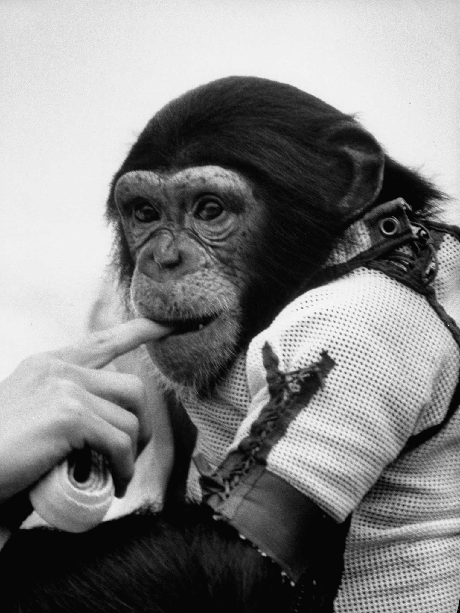 Ham the astrochimp, 1961.