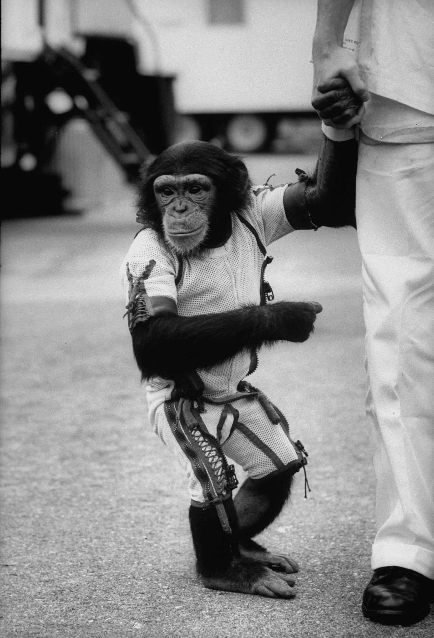 </b>Not published in LIFE.</b> Ham the astrochimp after his 1961 suborbital flight.
