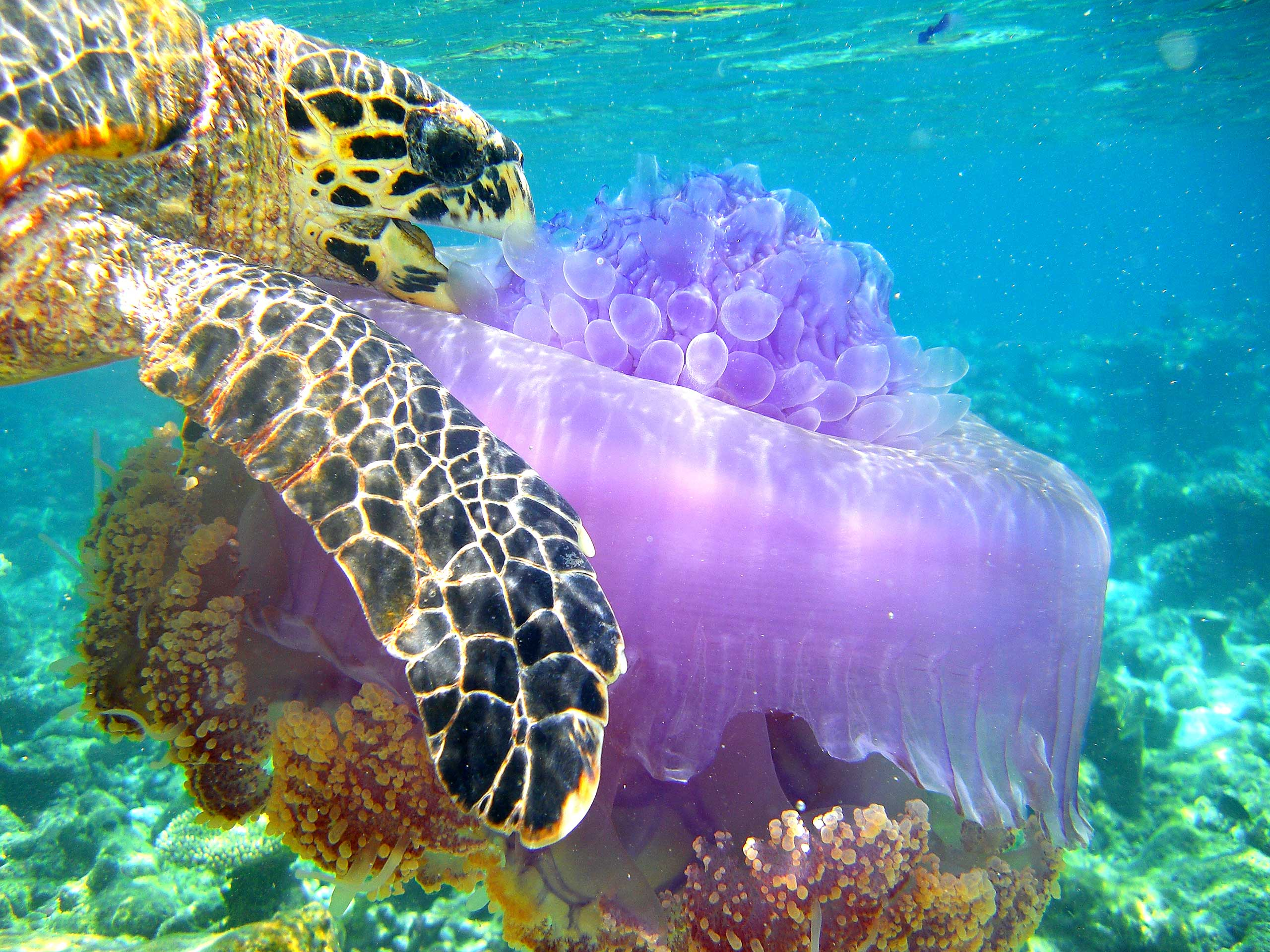 A sea turtle eating a jellyfish in The Maldives.