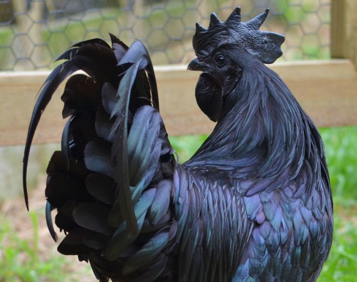 Ayam Cemani chicken