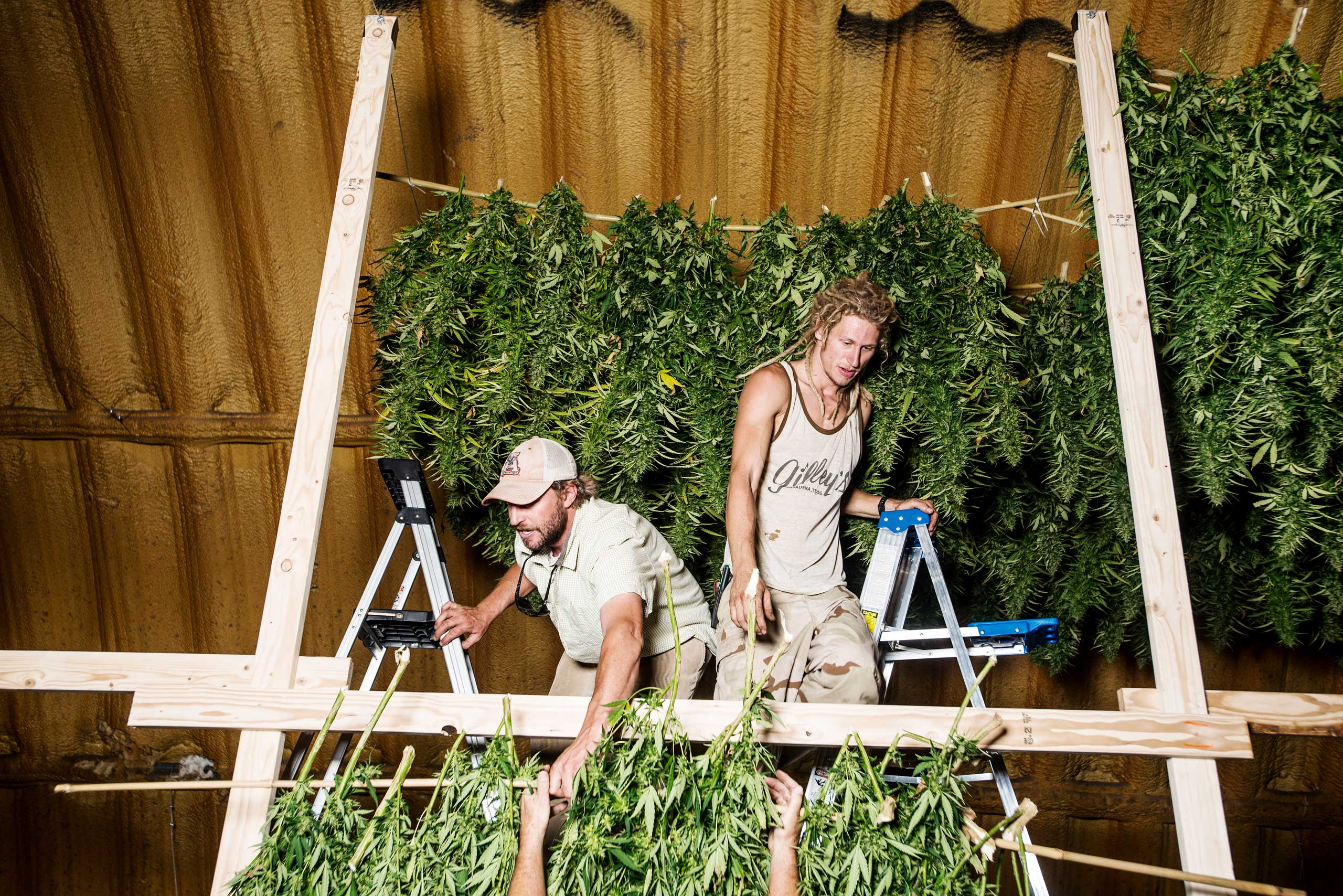 Penn Mattison, left, and Zachary Sobol, right, hang rows of Charlotte's Web to dry after being harvested from a farm near Wray, Colo. on Sept. 22, 2014.