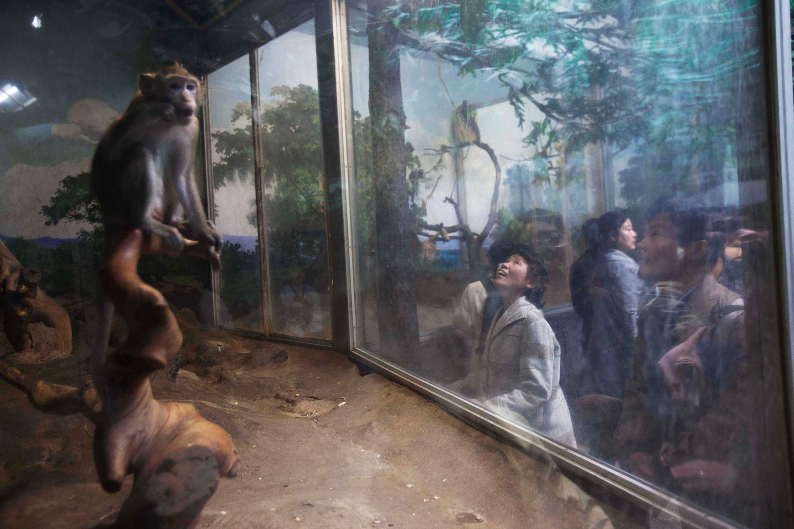 April 22, 2011. A woman looks at monkeys behind a glass enclosure at the central zoo in Pyongyang.
