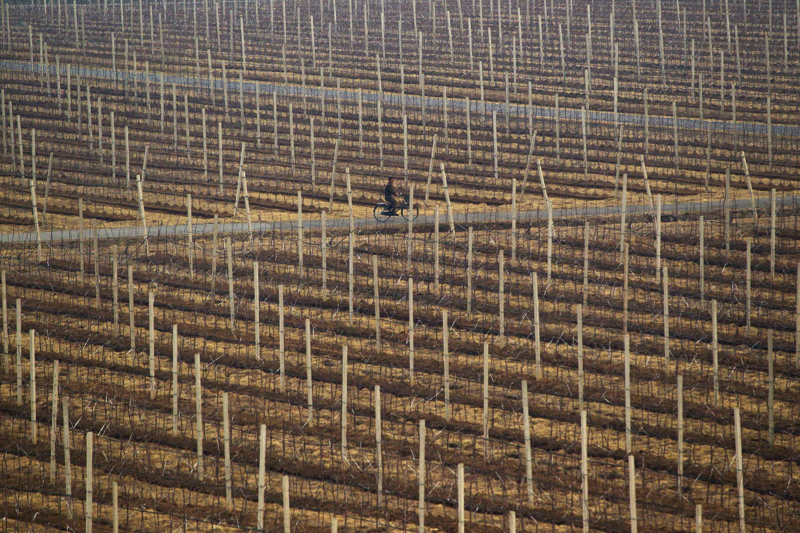 April 10, 2012. A North Korean man rides a bicycle on the grounds of a communal apple farm on the outskirts of Pyongyang.
