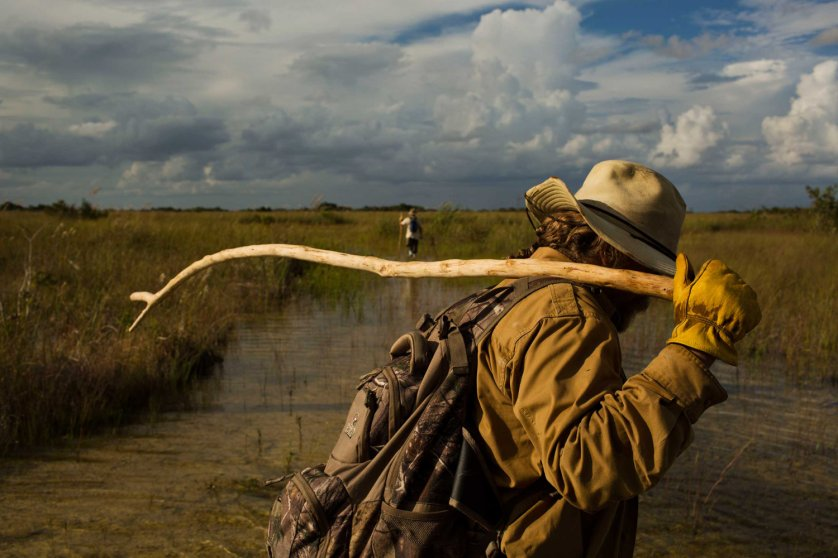 """Volunteer members of the """"Swamp Apes"""" patrol through Florida's Everglades National Park searching for invasive pythons in the Chekika area of the park on Oct. 4, 2014."""