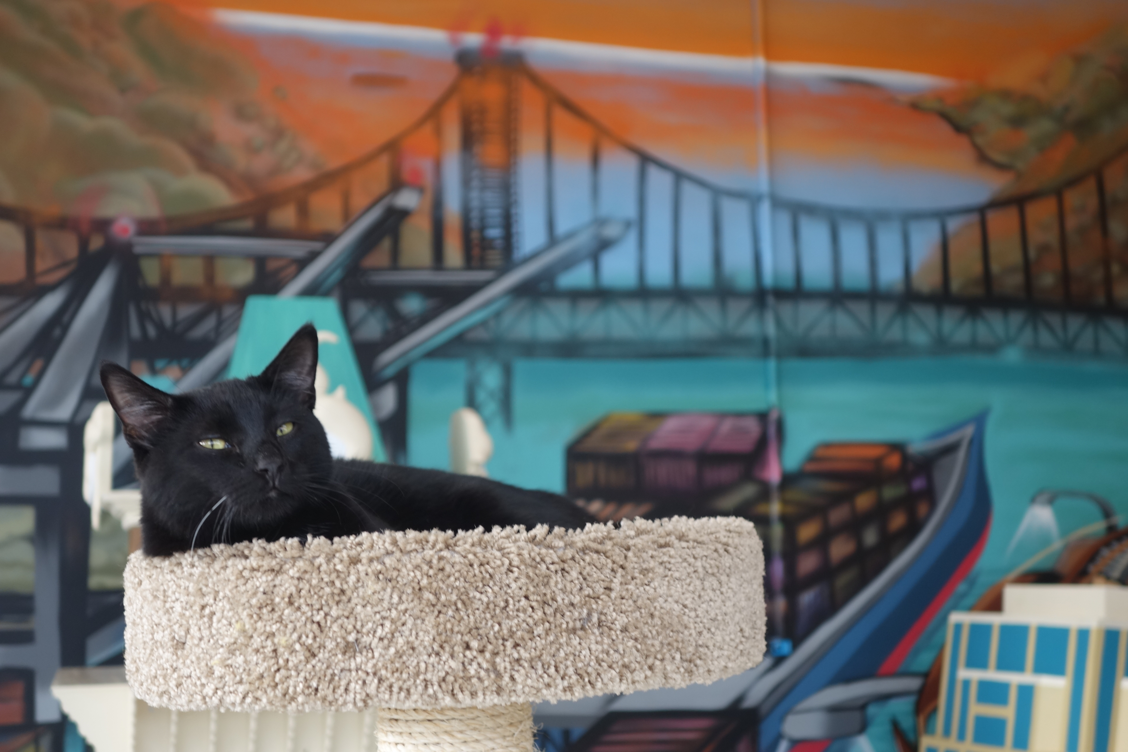 A cat lounges at Cat Town Cafe, the nation's first permanent cat cafe, during the grand opening on Oct. 25, 2014 in Oakland, Calif.