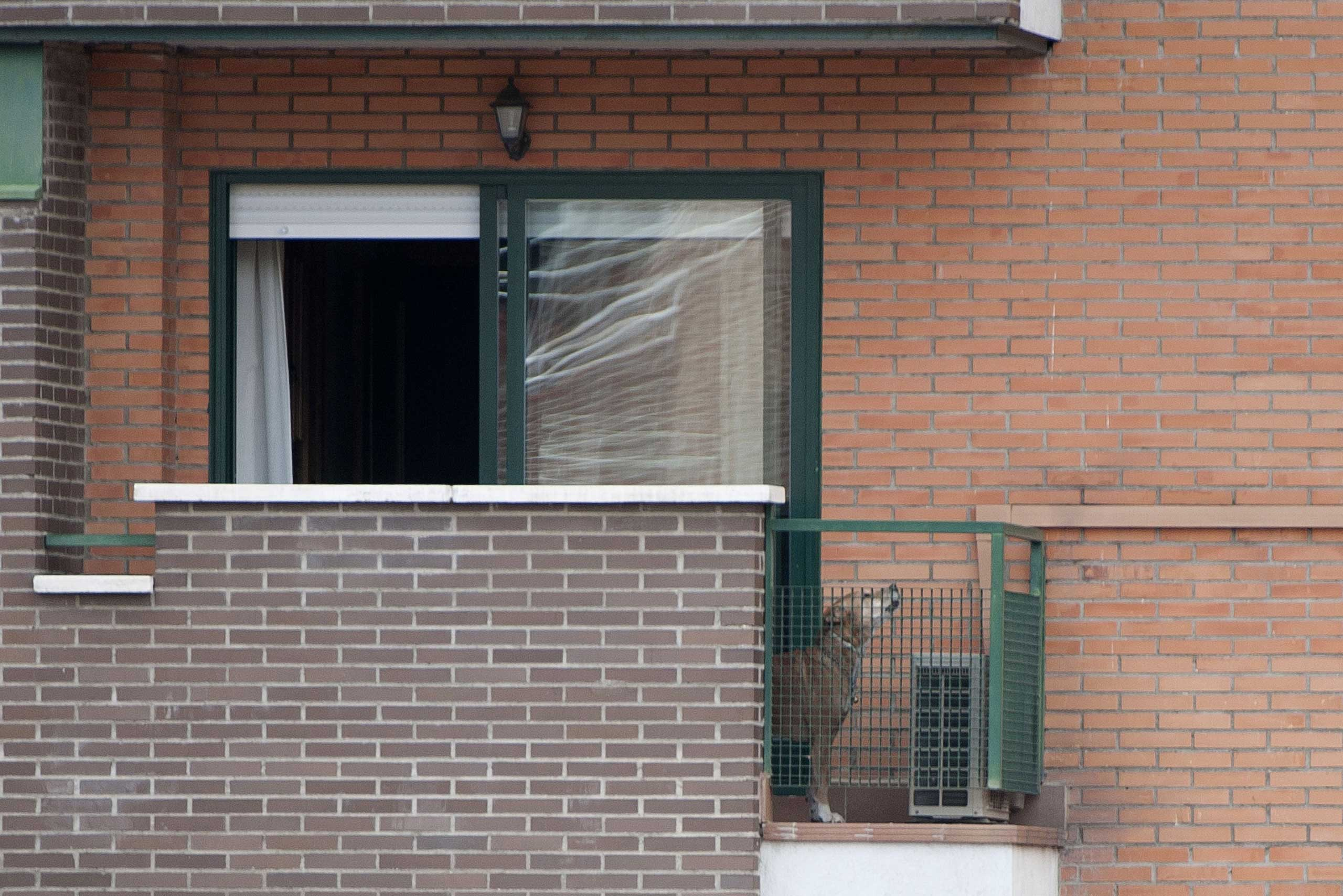 Oct. 8, 2014. Excalibur, the dog of Teresa, a Spanish nurse, and her husband Javier Limon, stands on their balcony in Alcorcon after they were admitted Sunday and Monday respectively to a Madrid hospital fearing infection with the deadly Ebola virus.