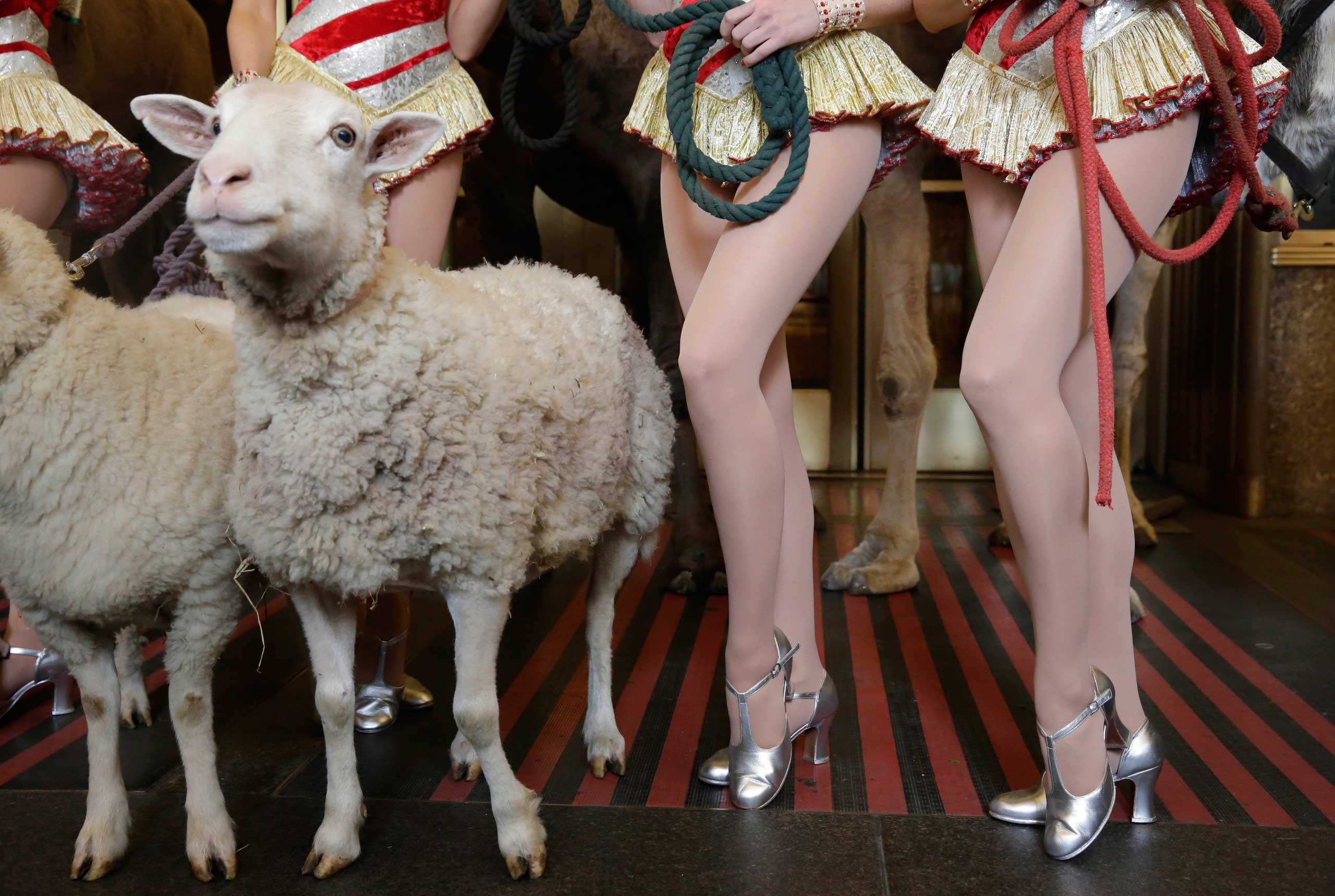 Oct. 28, 2014. The legs of camel and sheep for the Living Nativity scene, and Rockettes, of the Radio City Christmas Special, are juxtaposed as they pose for photos outside New York's Radio City Music Hall.