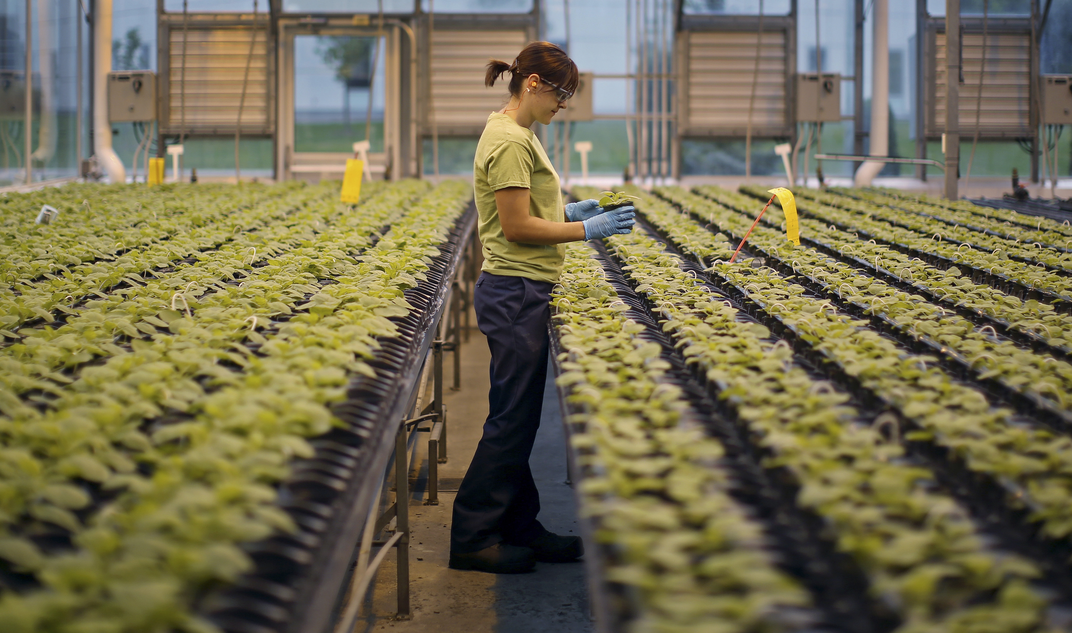 Tobacco plants are grown for six weeks in the Medicago greenhouse in Quebec City so their leaves are large enough to serve as a factory for making antibodies. The plants are not modified or genetically altered in any way during this time.