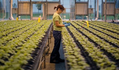 An worker inspects the Nicotiana benthamiana plants at Medicago greenhouse in Quebec City