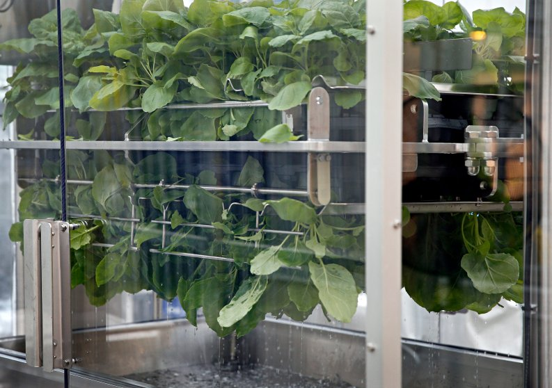 Nicotiana benthamiana plants are dipped in a solution during the infiltration process at Medicago greenhouse in Quebec City