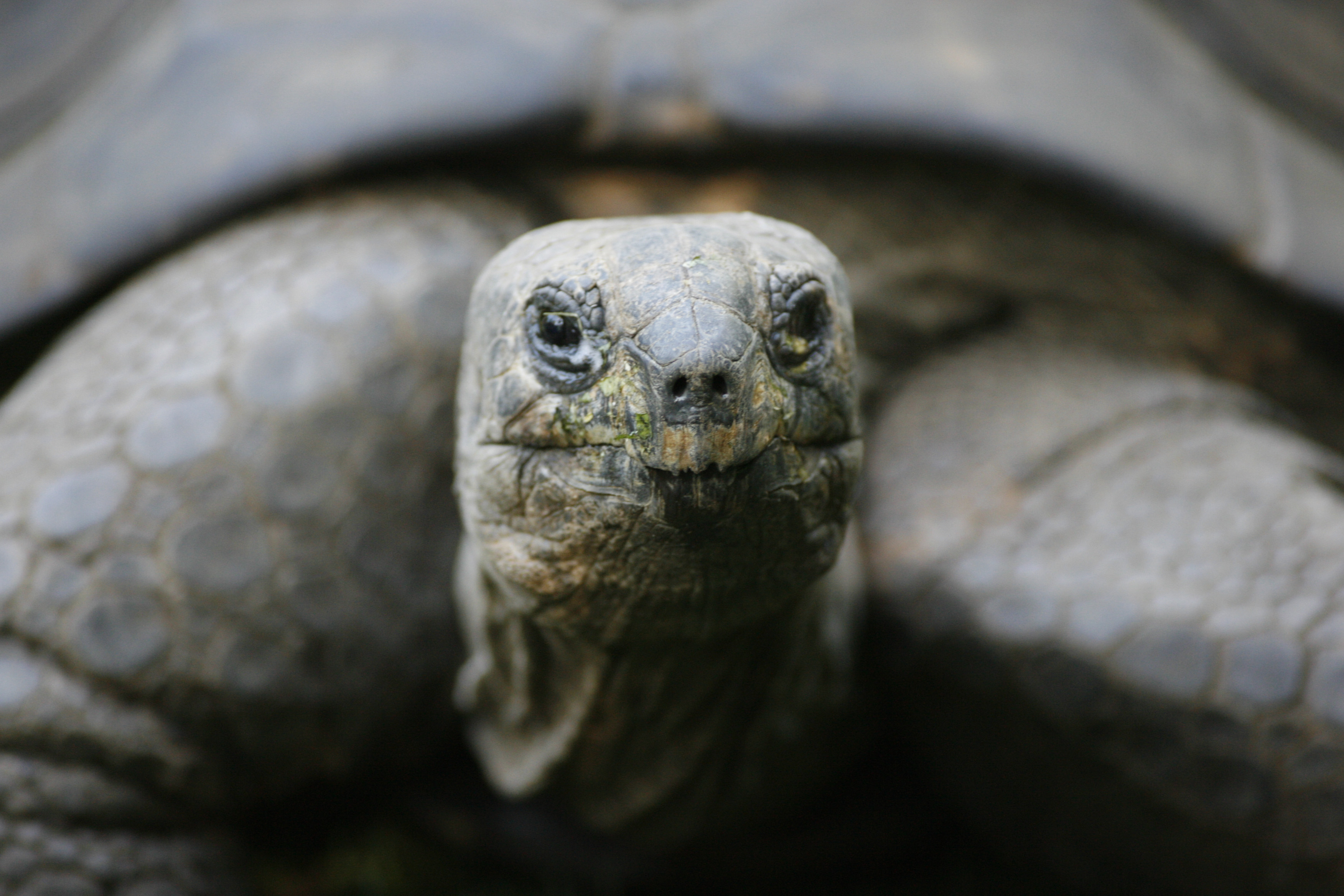 A giant turtle is pictured at the zoo in Duisburg on Sept. 24, 2007.