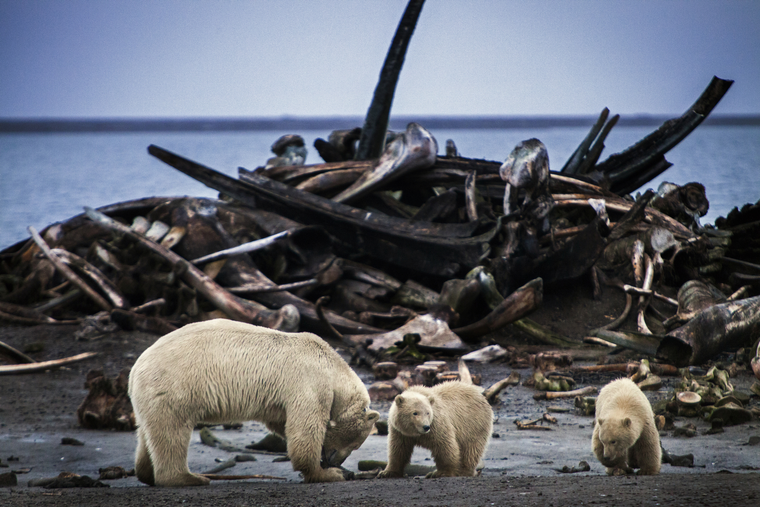 In late September polar bears flock to the native town of Kaktovik in the Alaskan Arctic to eat at  the boneyard : the remains of whales annually hunted by the community.