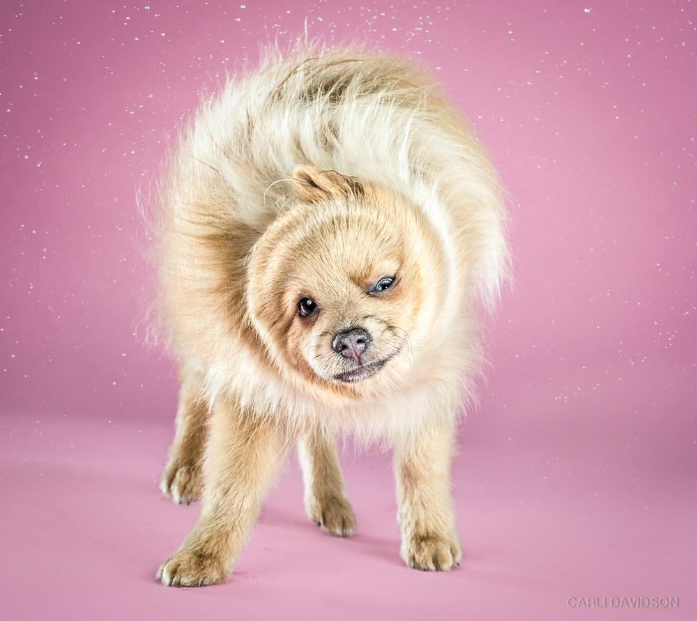 <strong>Koda - 20 weeks, Pomeranian</strong>