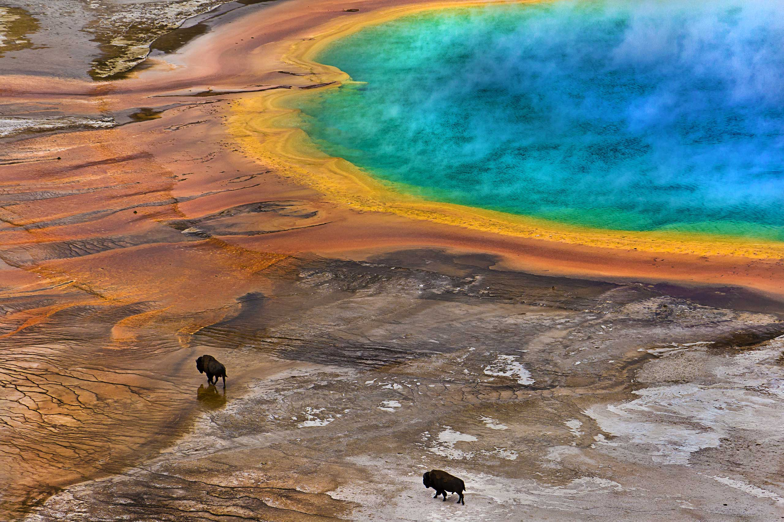 Two Bisons on the Grand Prismatic Spring in Yellowstone National Park, Wyo.