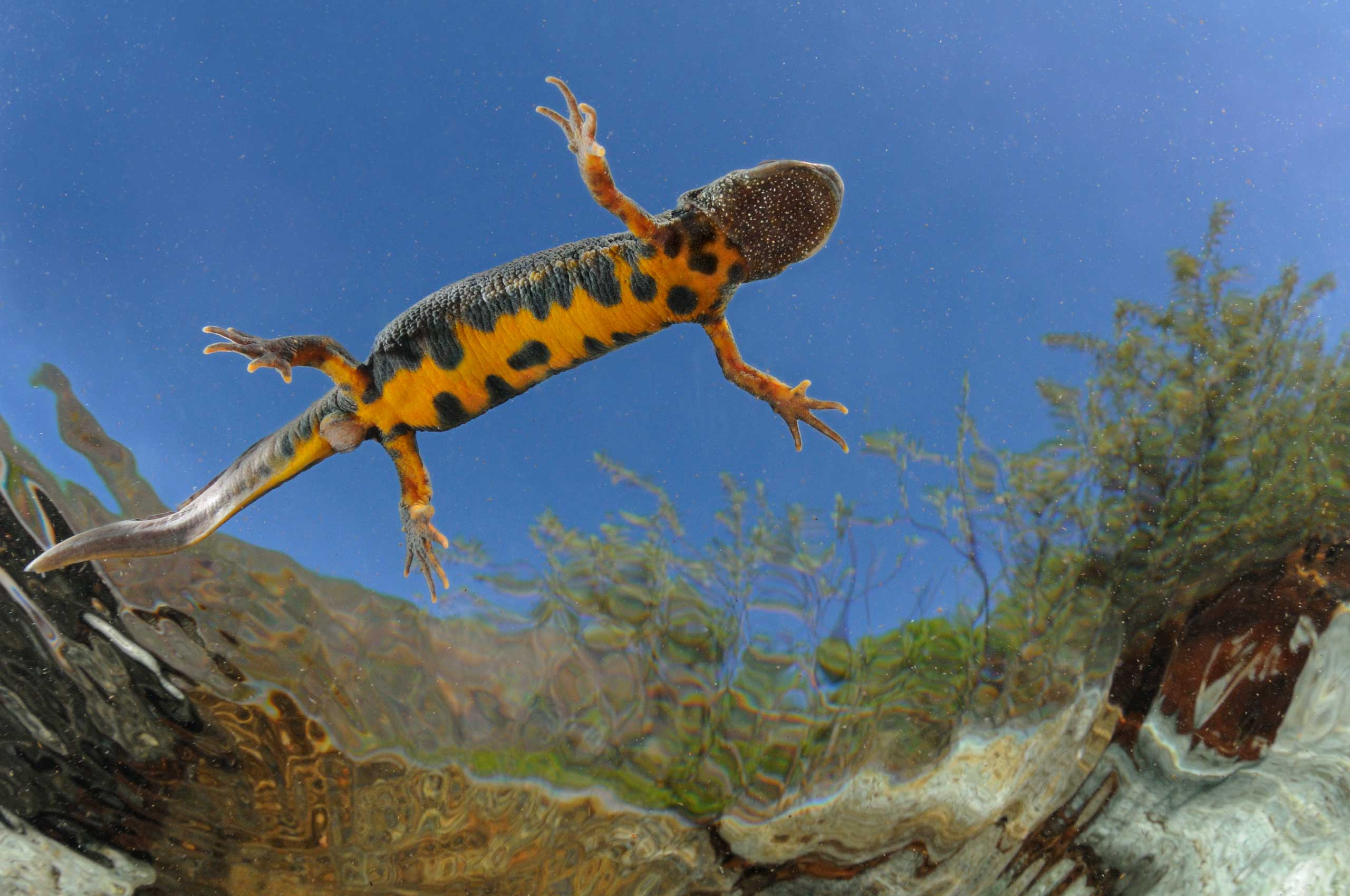 An adult female Italian crested newt stationed below the fresh water surface in Piedmont, Italy.