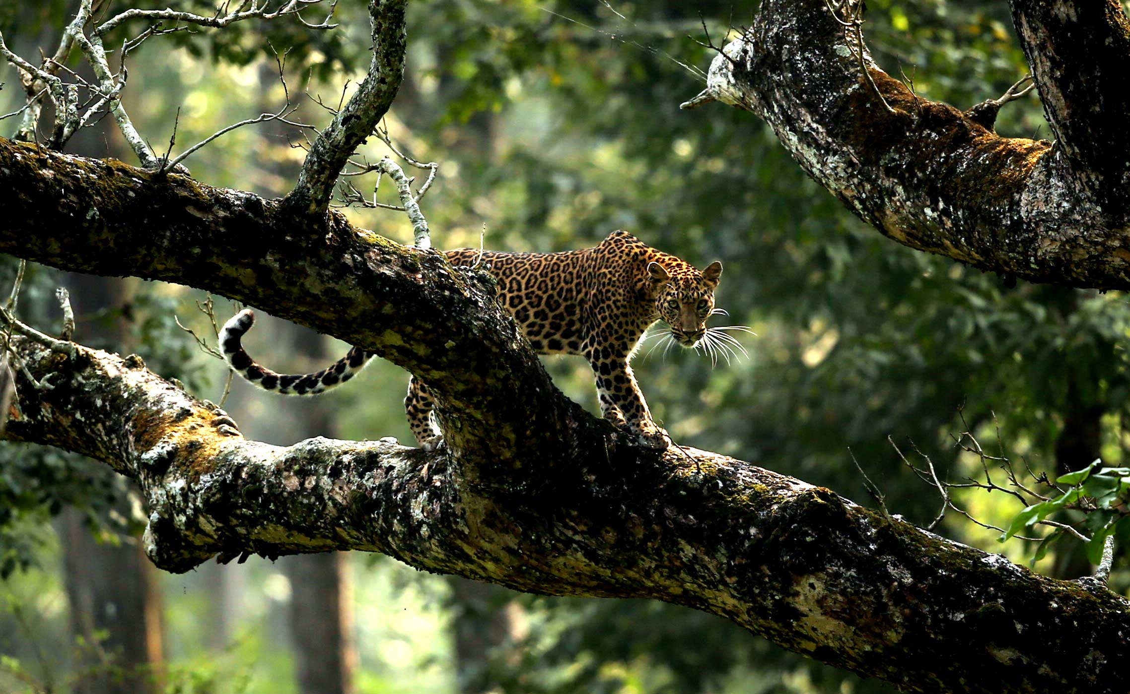A leopard in its natural habitat in Karantaka, India.