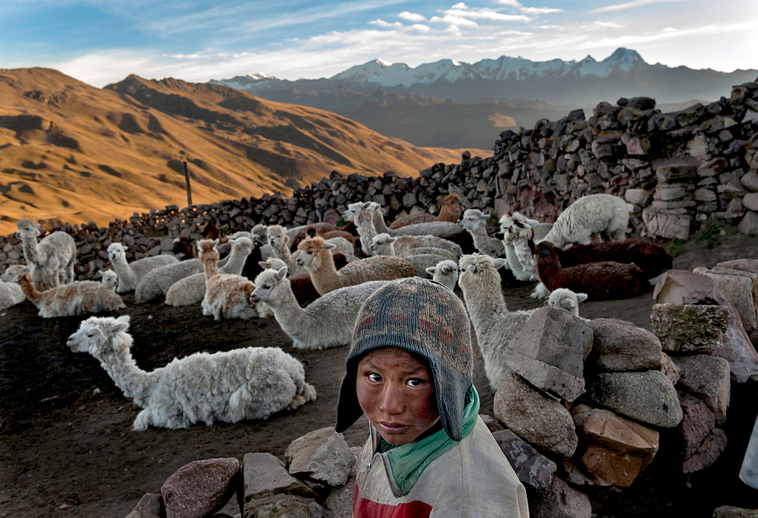 Following the death of his father, Alvaro Kalancha Quispe, 9, helps his family survive by herding. He opens the gate to the stone pen that holds the family's alpacas and llamas each morning so they can graze throughout the hillsides during the day. He then heads off to school, but must round them up again in the evening in the Akamani mountain range of Bolivia in an area called Caluyo, about an hour from the city of Qutapampa.                               In this part of the world, the highlands of Bolivia, approximately 13,000 feet above sea level, residents live in homes with no insulation, no electricity, and no beds. Their water comes from streams that run off the snow-covered mountains. Their livelihood lies with their animals, for each animal produces about three pounds of fur each year, and each pound of fur is sold for 18 bolivianos, which amounts to about $2.50 U.S. All in all, this family may earn about $200 of income each year from the herd they watch over.