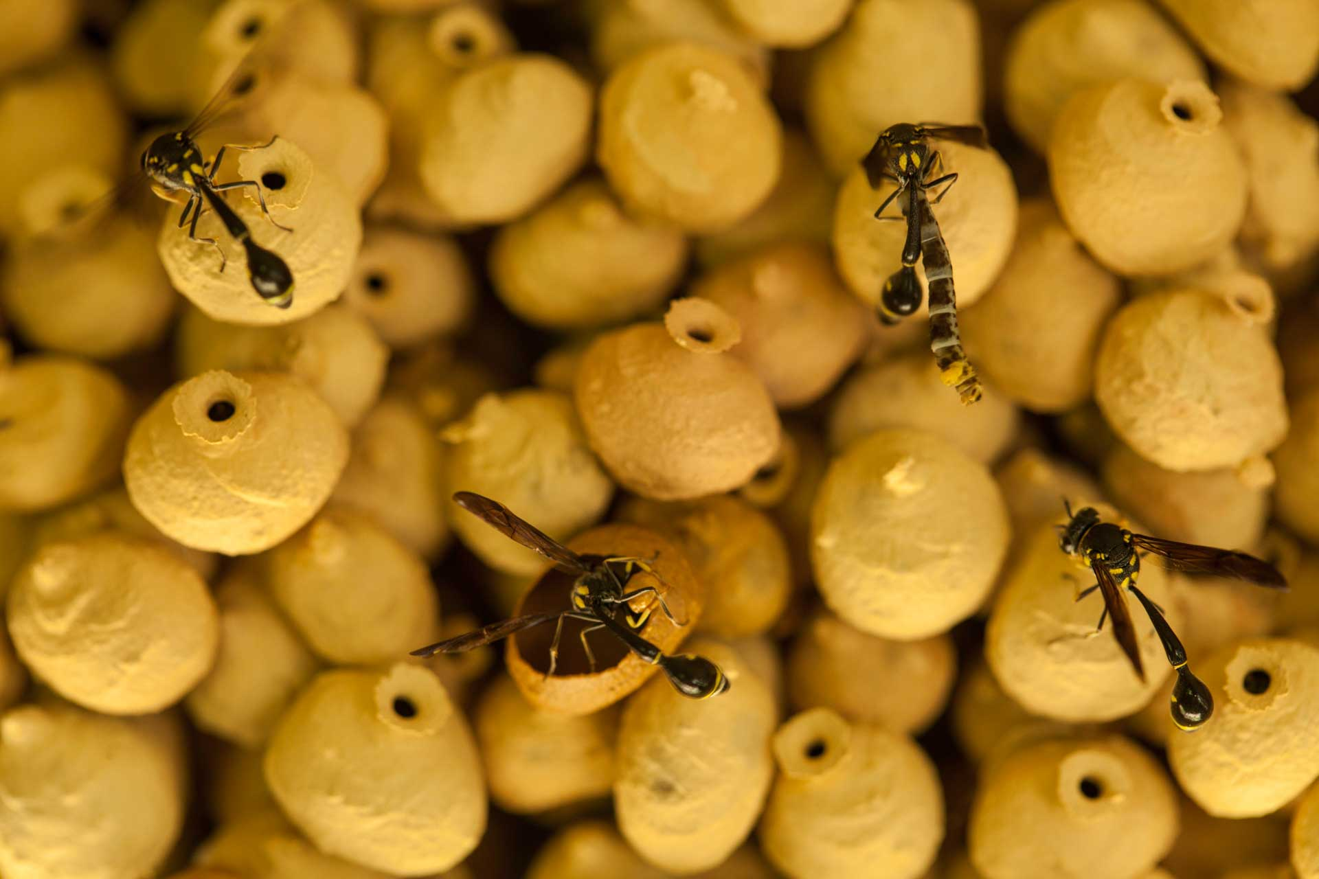 Parasitoid wasps building clay pots in Borneo, Brunei.