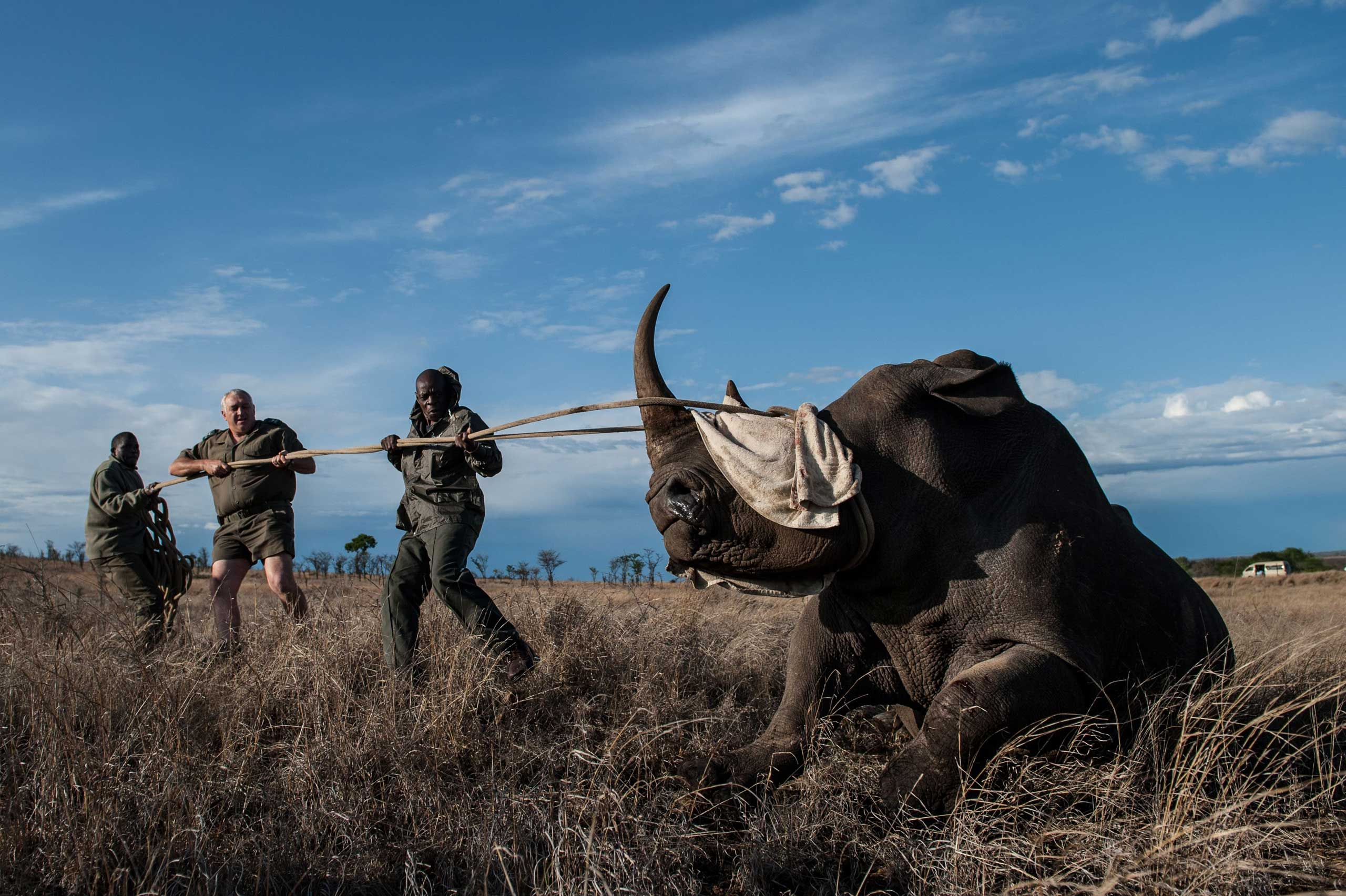Oct. 17, 2014. Dr. Marius Kruger (C) and a member of the Kruger National Park keeps the head of a rhino up during a white rhino relocation capture. The Kruger National Park relocated four rhinoceros from a high risk poaching area to a safer area as part of ongoing strategic rhinoceros management plan.