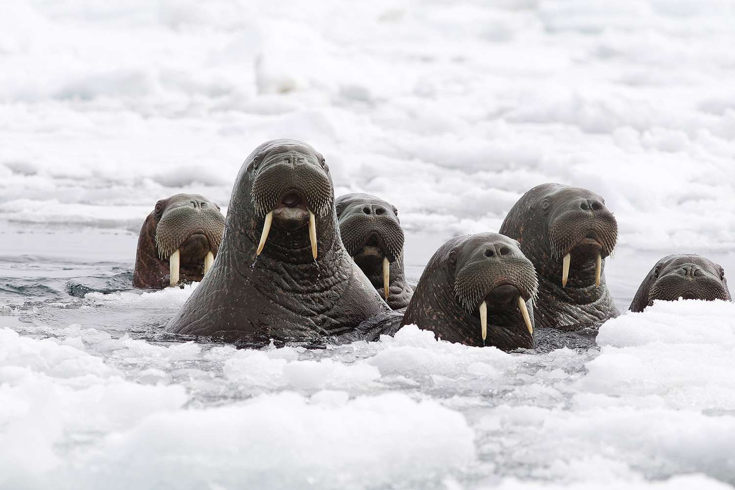 Lost habitat Herds of walruses retreat to land after the sea ice they depended on turned to slush