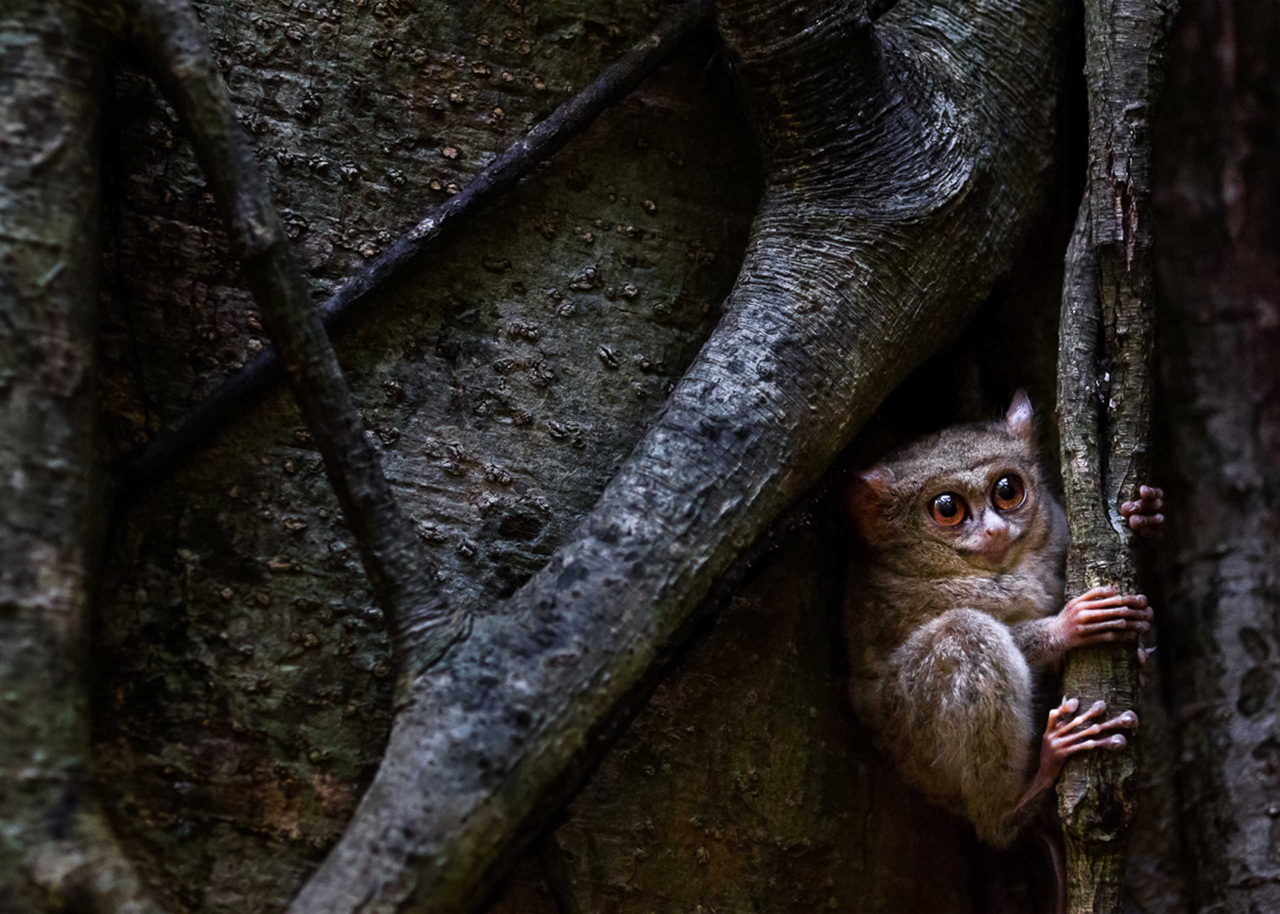 A tarsier in its natural habitat in Sulawesi, Indonesia.
