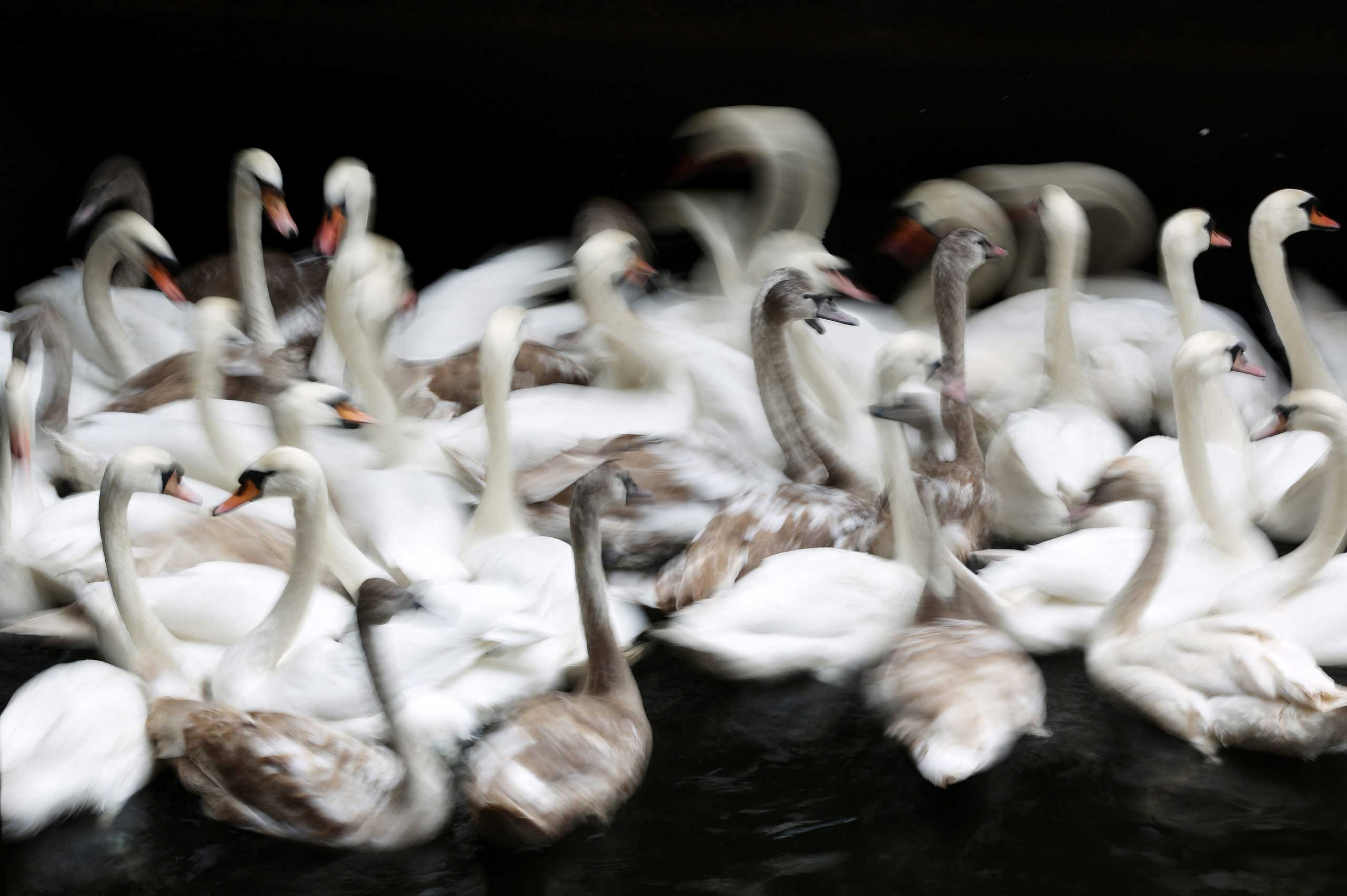 Nov. 18, 2014. Swans are gathered on the Alster Lake at City Hall in Hamburg before being transported to Eppendorf Muehlenteich pond where they will spend the Winter.