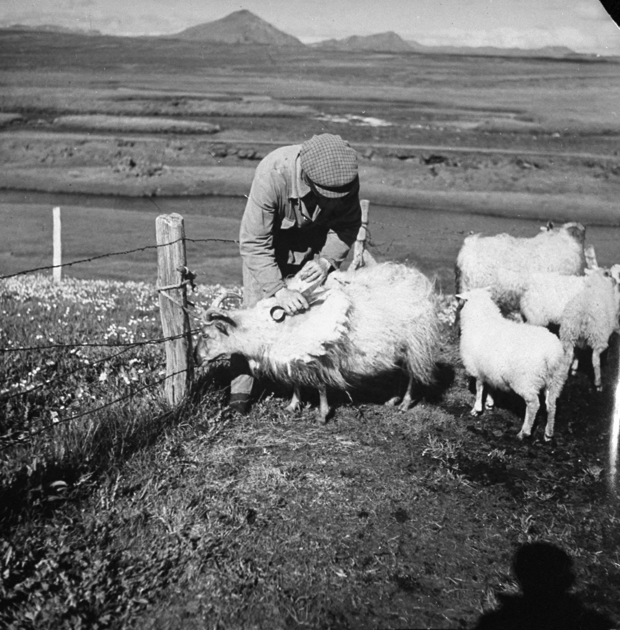 """<b>Caption from print:</b> """"Sheep, numbering about 700,000, are the basis of Iceland's agriculture, furnish 80 percent of her exports. Photo shows an Iceland peasant shearing his sheep. During the summer, the sheep graze in complete freedom in the mountains and grass covered plateaus."""""""