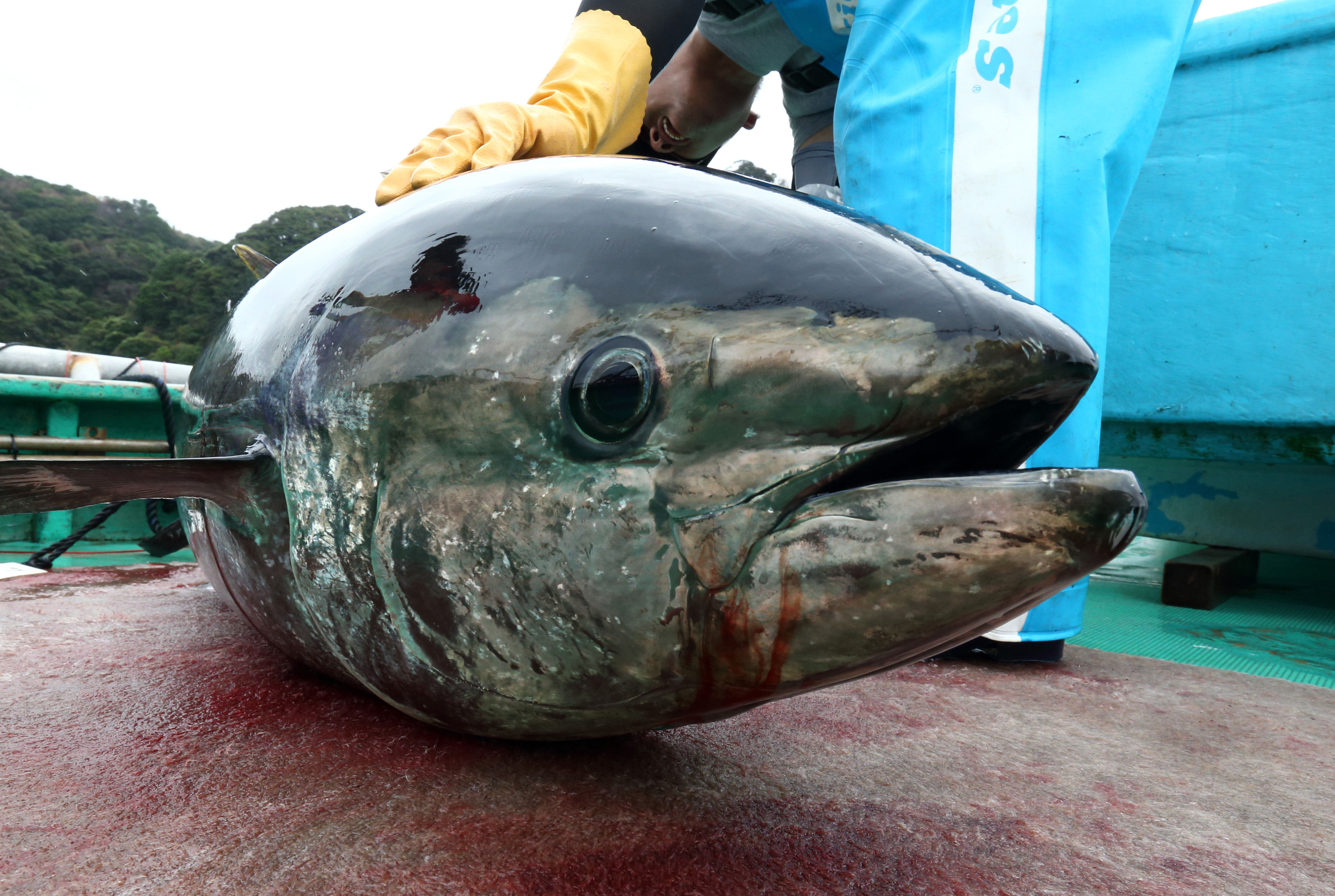 A farmed blue-fin tuna on board a boat at a fish farm operated by the laboratory in Kushimoto, Wakayama Prefecture, Japan, on Tuesday, Oct. 21, 2014.