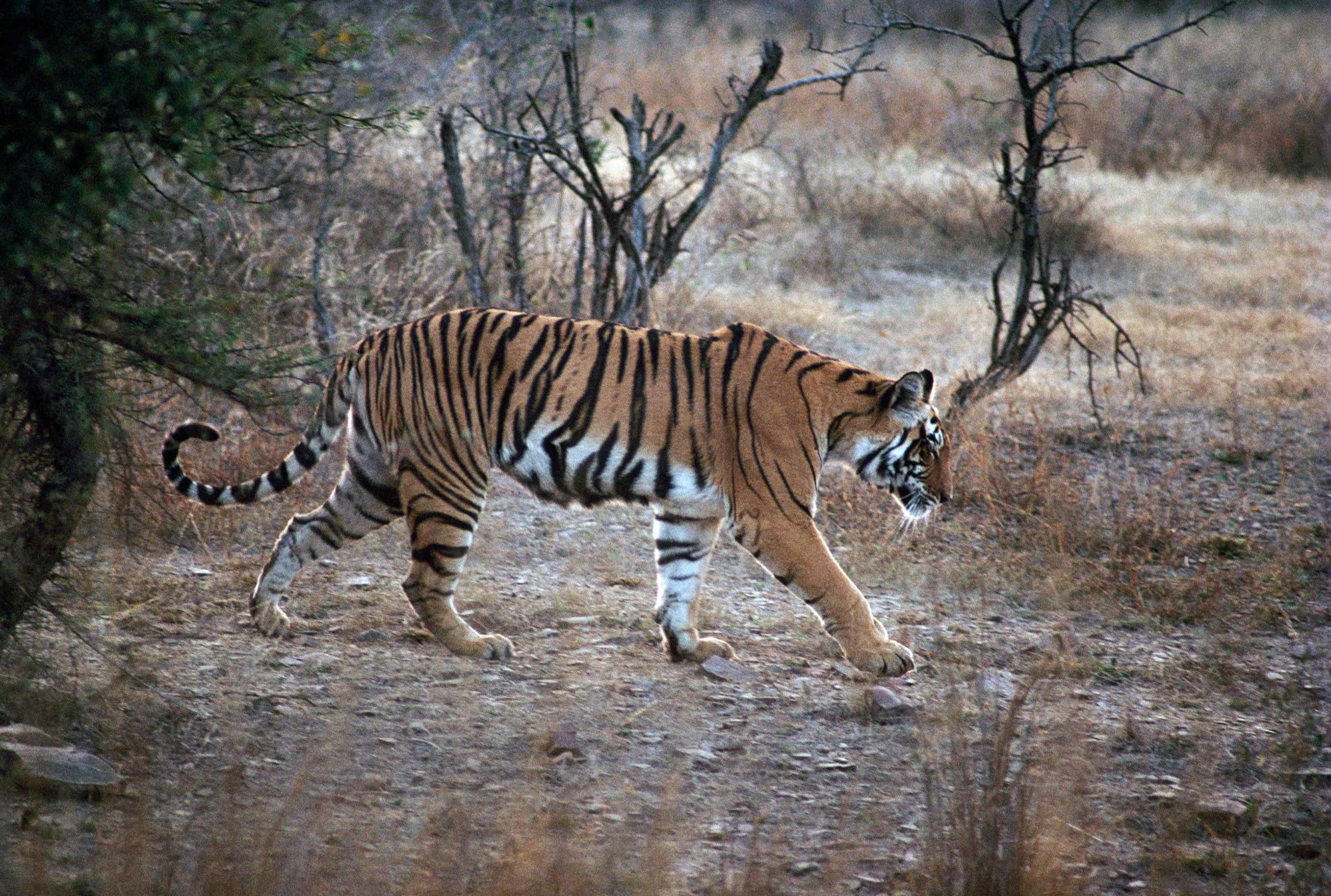 A Bengal tiger at Ranthambore National Park, India, on March 3, 2014