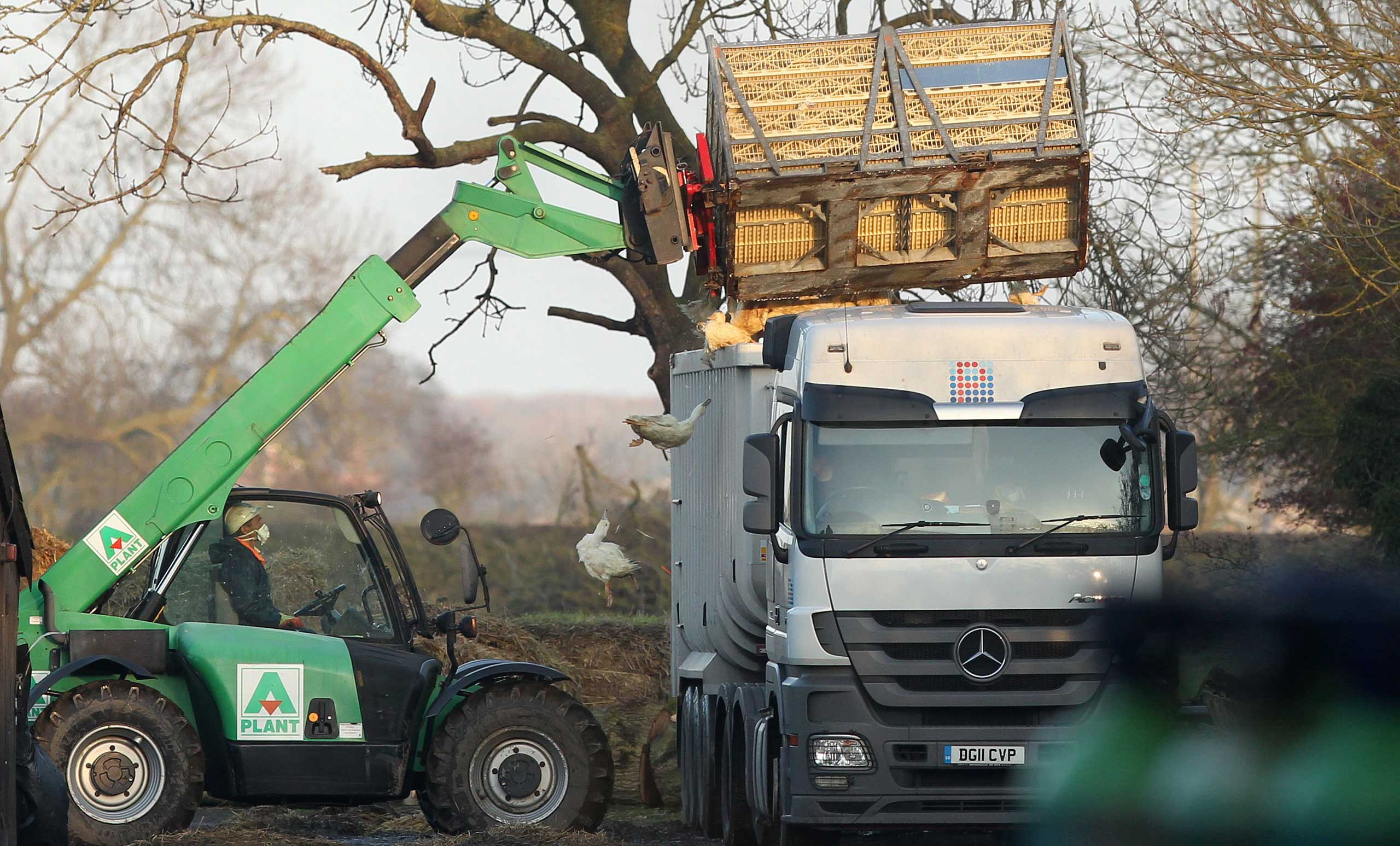 Nov. 18, 2014. Ducks are loaded onto a lorry following a cull at a farm in Nafferton, East Yorkshire, after a bird flu outbreak. Government veterinarians are investigating if the case of the highly pathogenic H5 avian flu found on the farm near Driffield is linked to a similar case in the Netherlands.